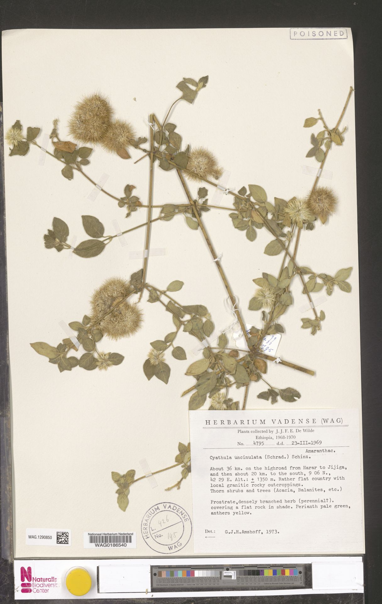 WAG.1290850 | Cyathula uncinulata (Schrad.) Schinz