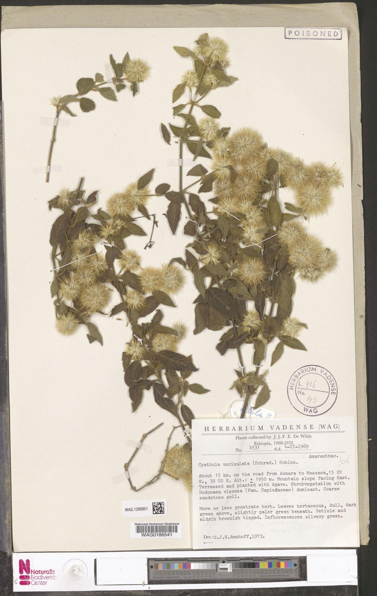 WAG.1290851 | Cyathula uncinulata (Schrad.) Schinz