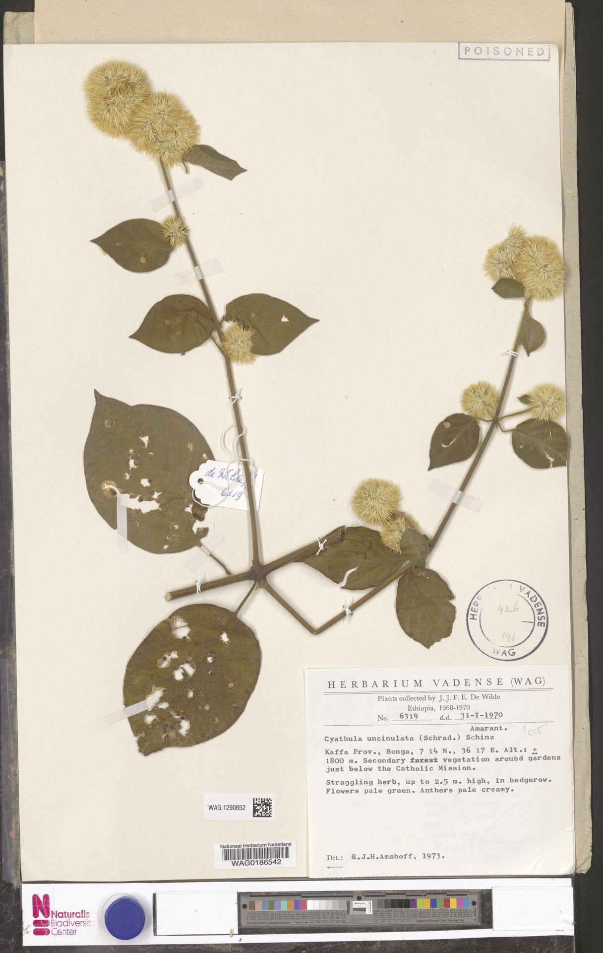 WAG.1290852 | Cyathula uncinulata (Schrad.) Schinz