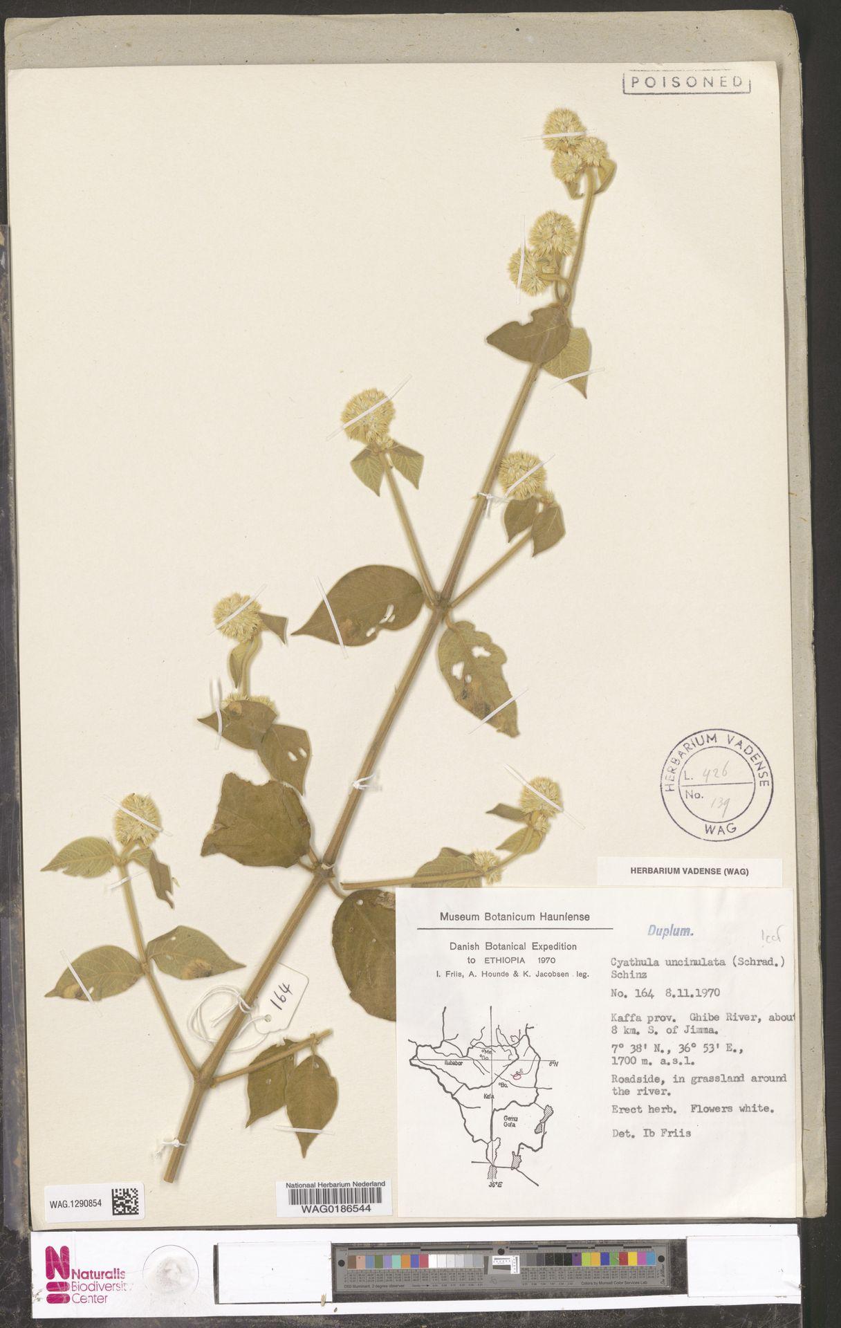 WAG.1290854 | Cyathula uncinulata (Schrad.) Schinz
