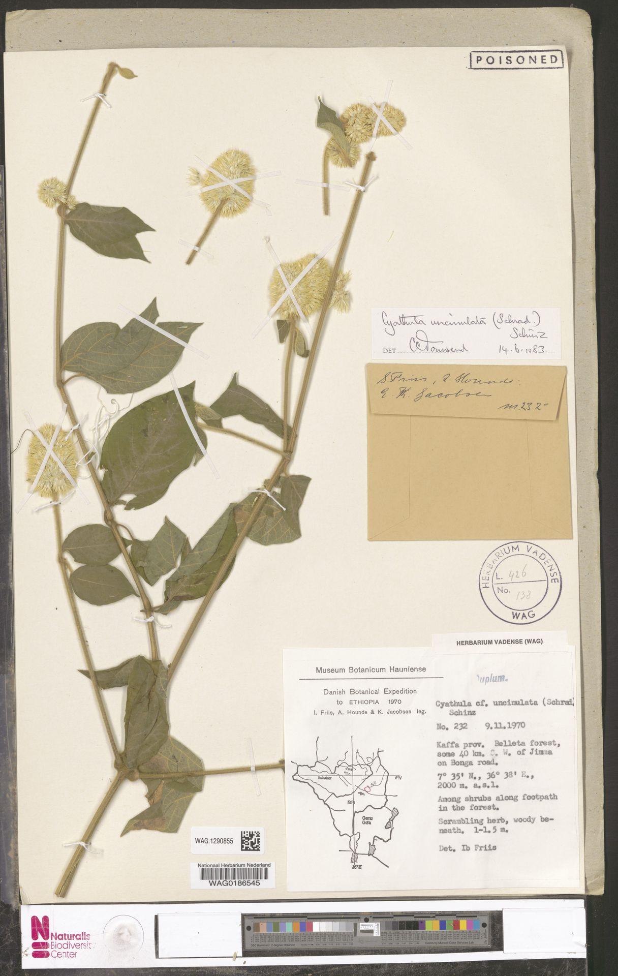 WAG.1290855 | Cyathula uncinulata (Schrad.) Schinz
