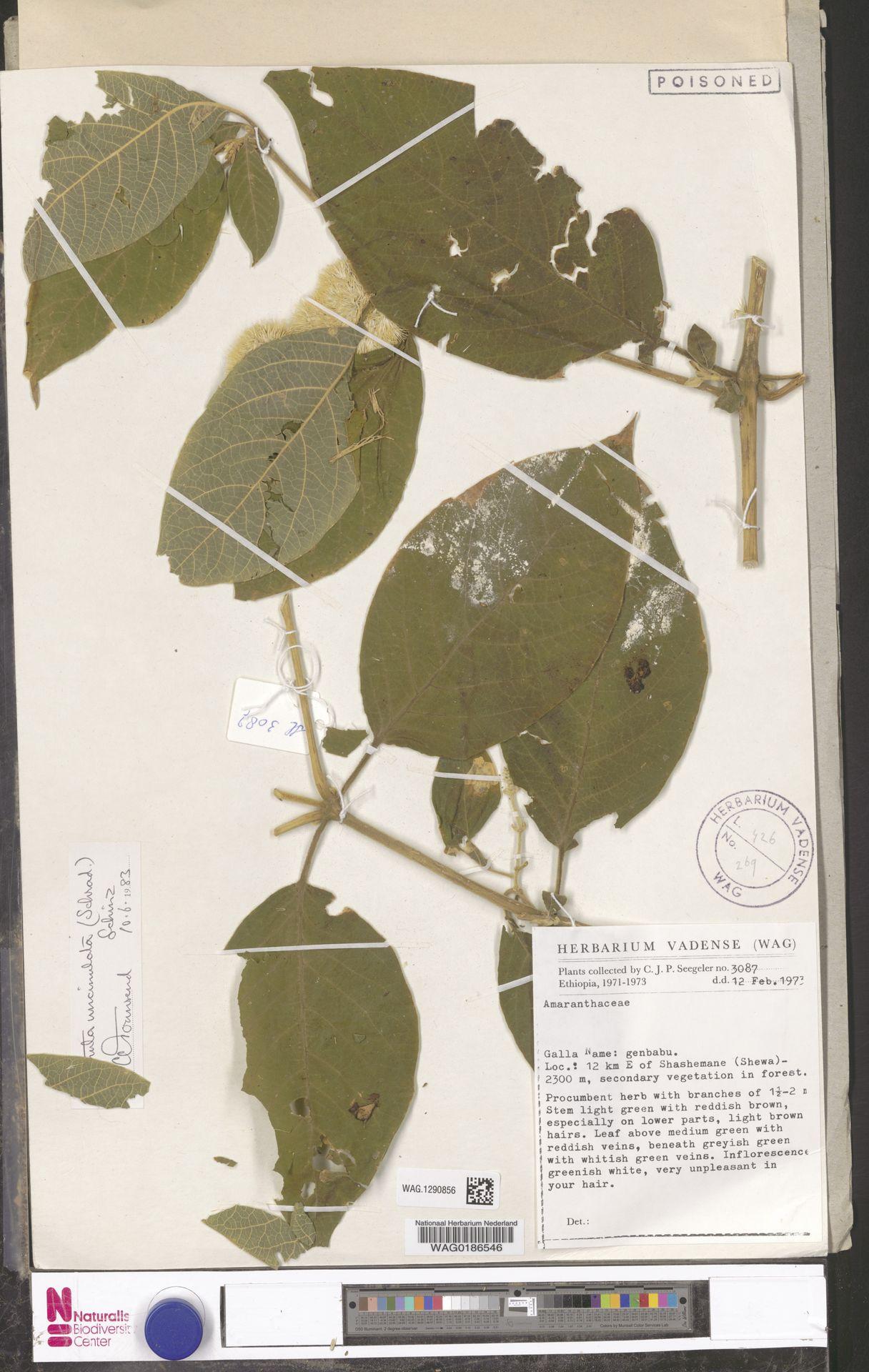 WAG.1290856 | Cyathula uncinulata (Schrad.) Schinz