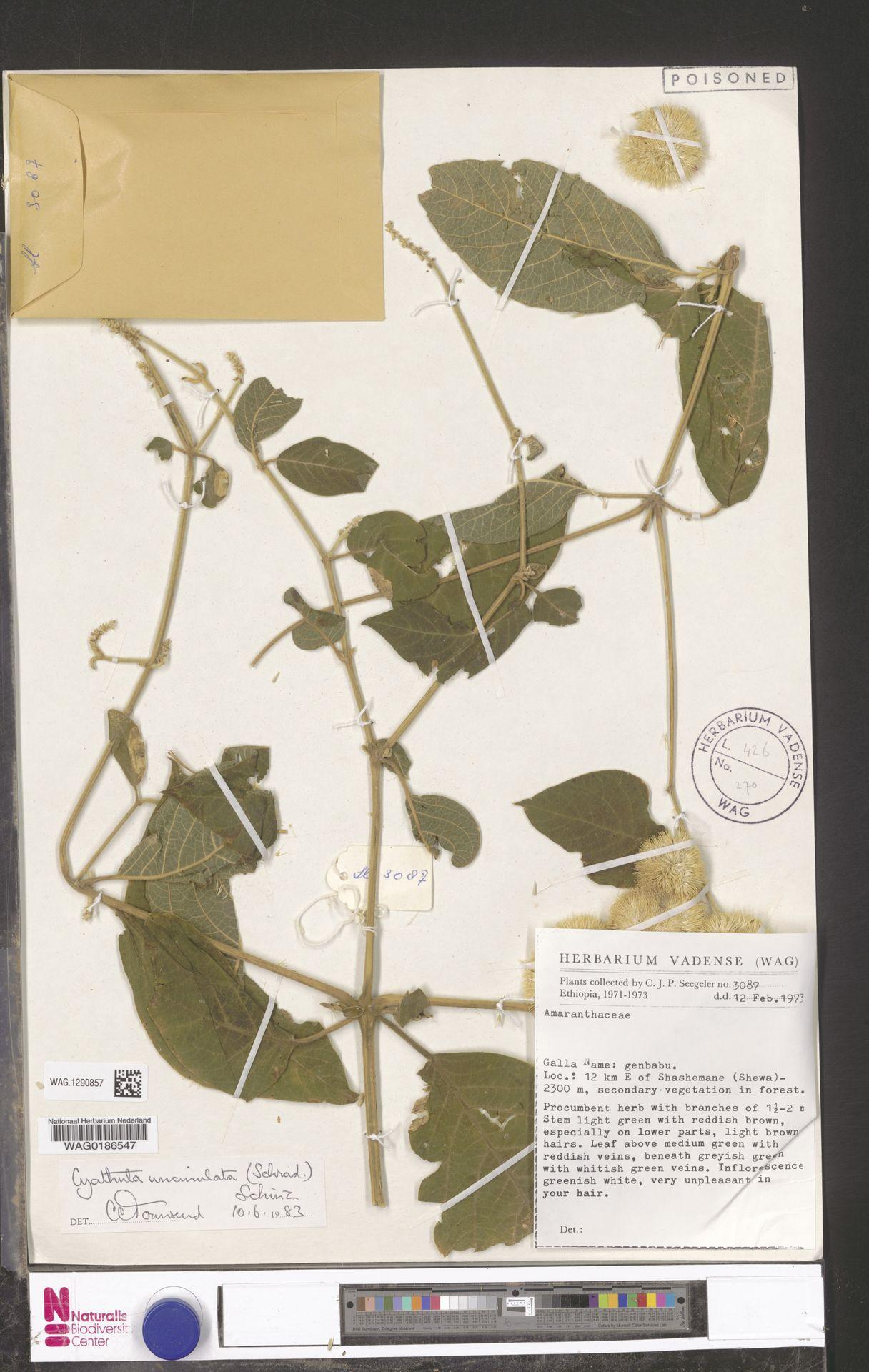 WAG.1290857 | Cyathula uncinulata (Schrad.) Schinz