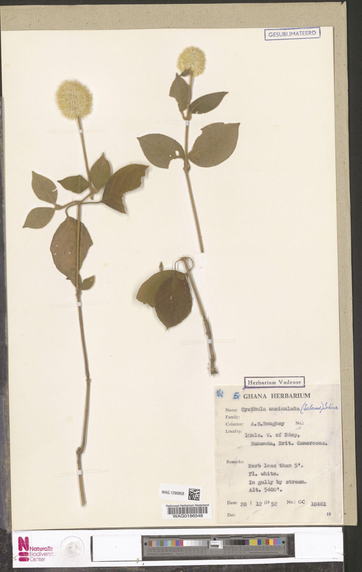 WAG.1290858 | Cyathula uncinulata (Schrad.) Schinz