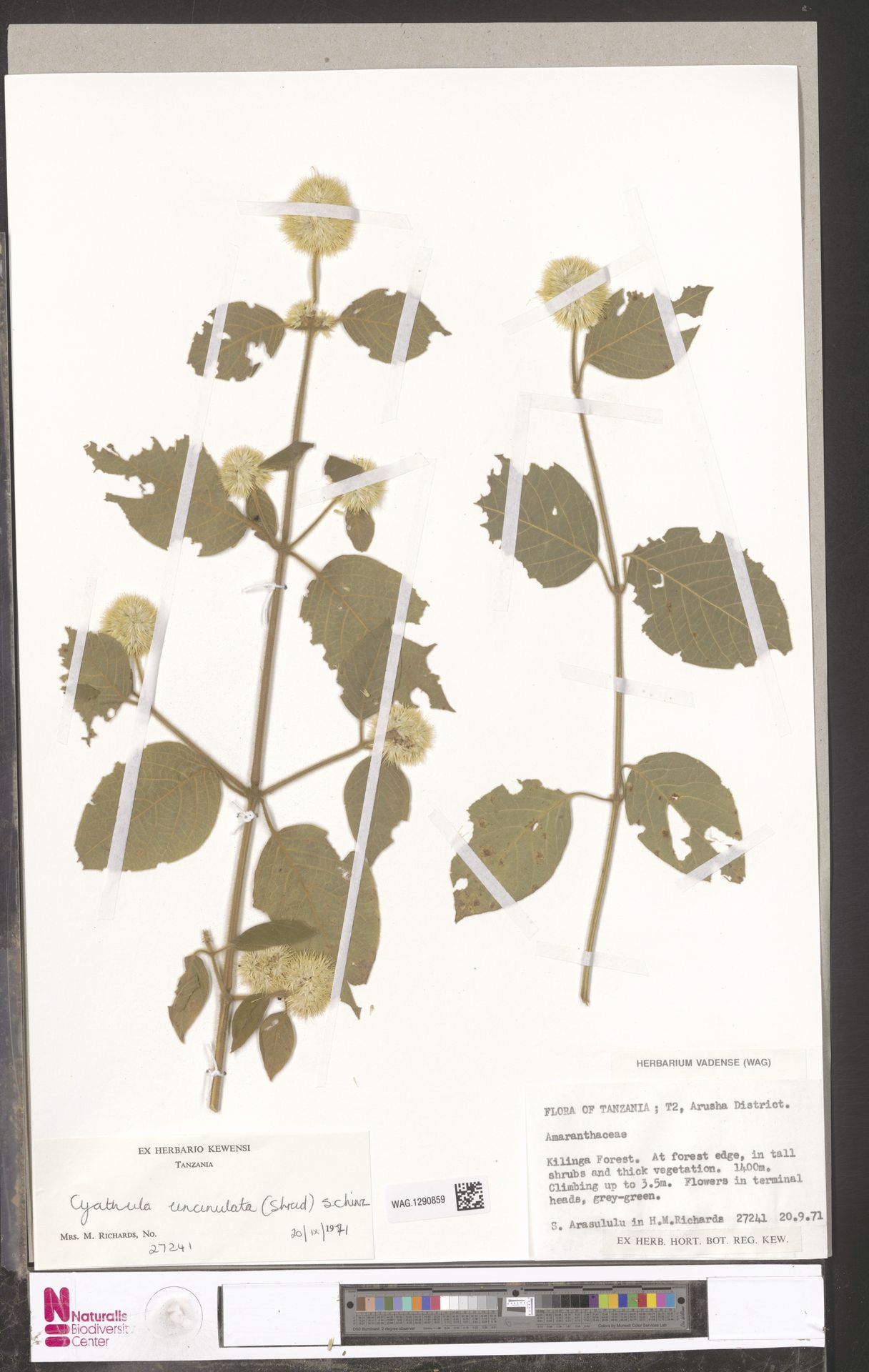 WAG.1290859 | Cyathula uncinulata (Schrad.) Schinz