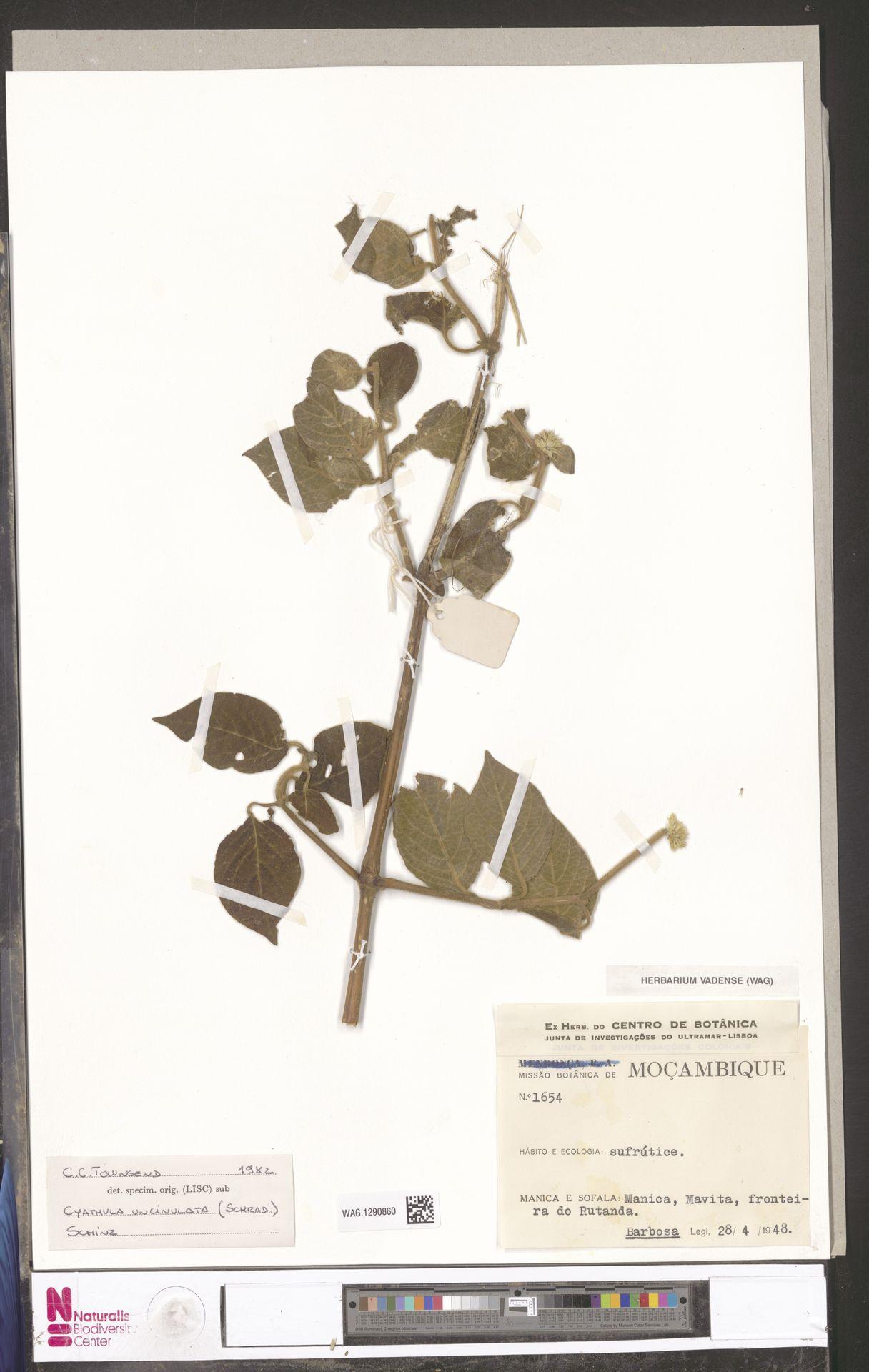 WAG.1290860 | Cyathula uncinulata (Schrad.) Schinz