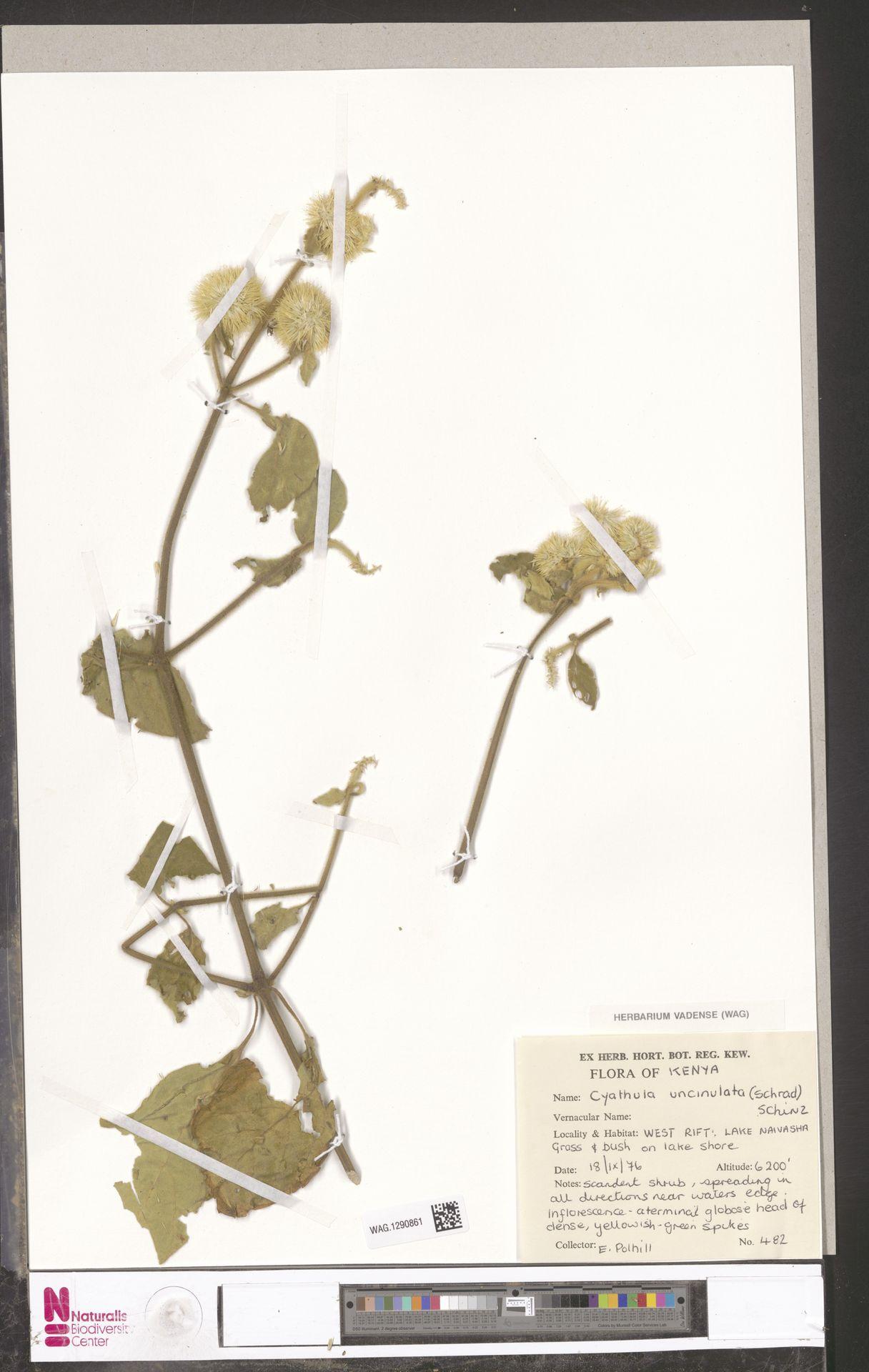 WAG.1290861 | Cyathula uncinulata (Schrad.) Schinz