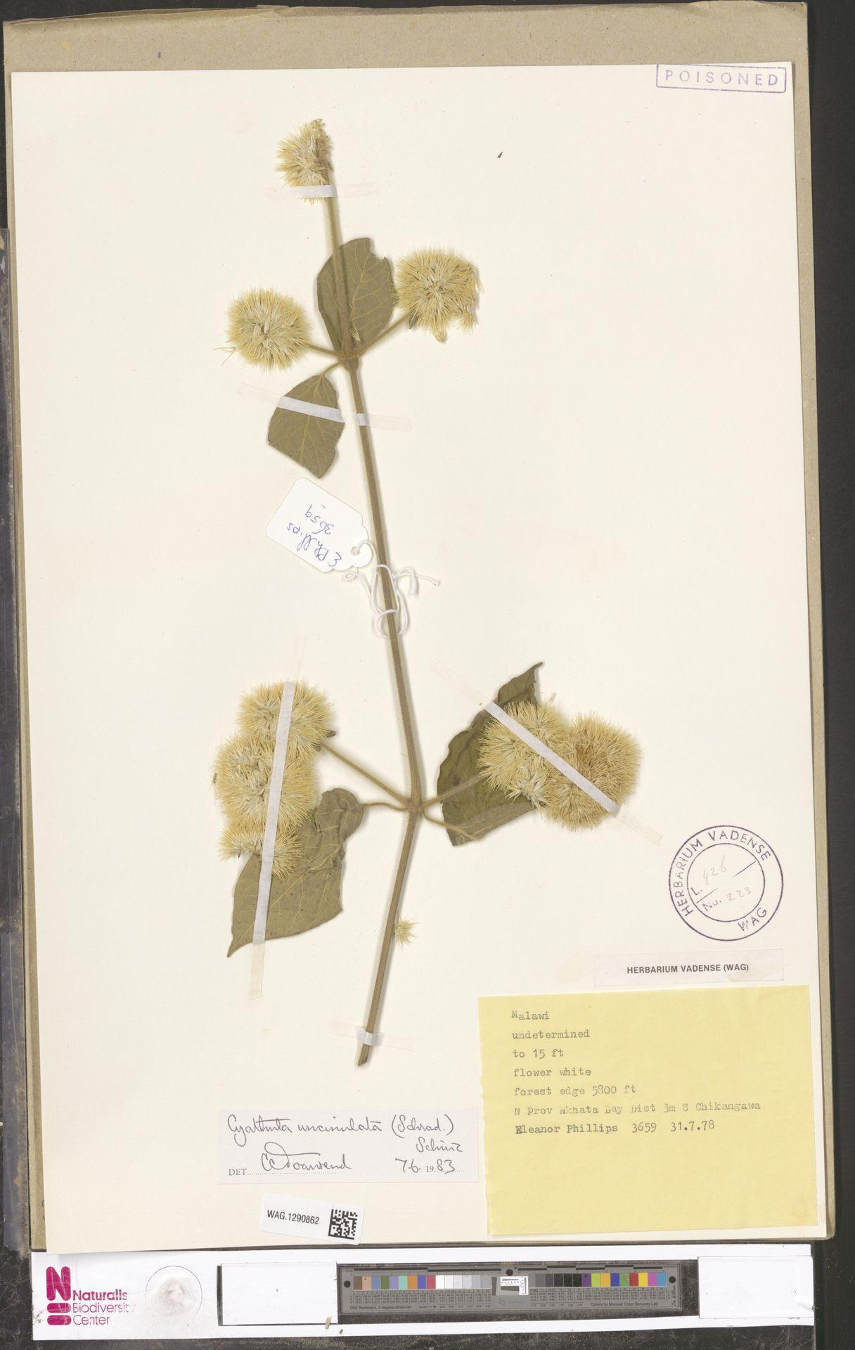 WAG.1290862 | Cyathula uncinulata (Schrad.) Schinz