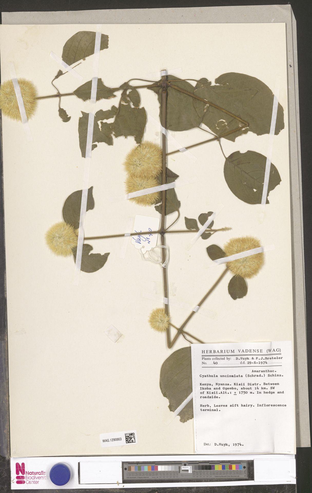 WAG.1290863 | Cyathula uncinulata (Schrad.) Schinz