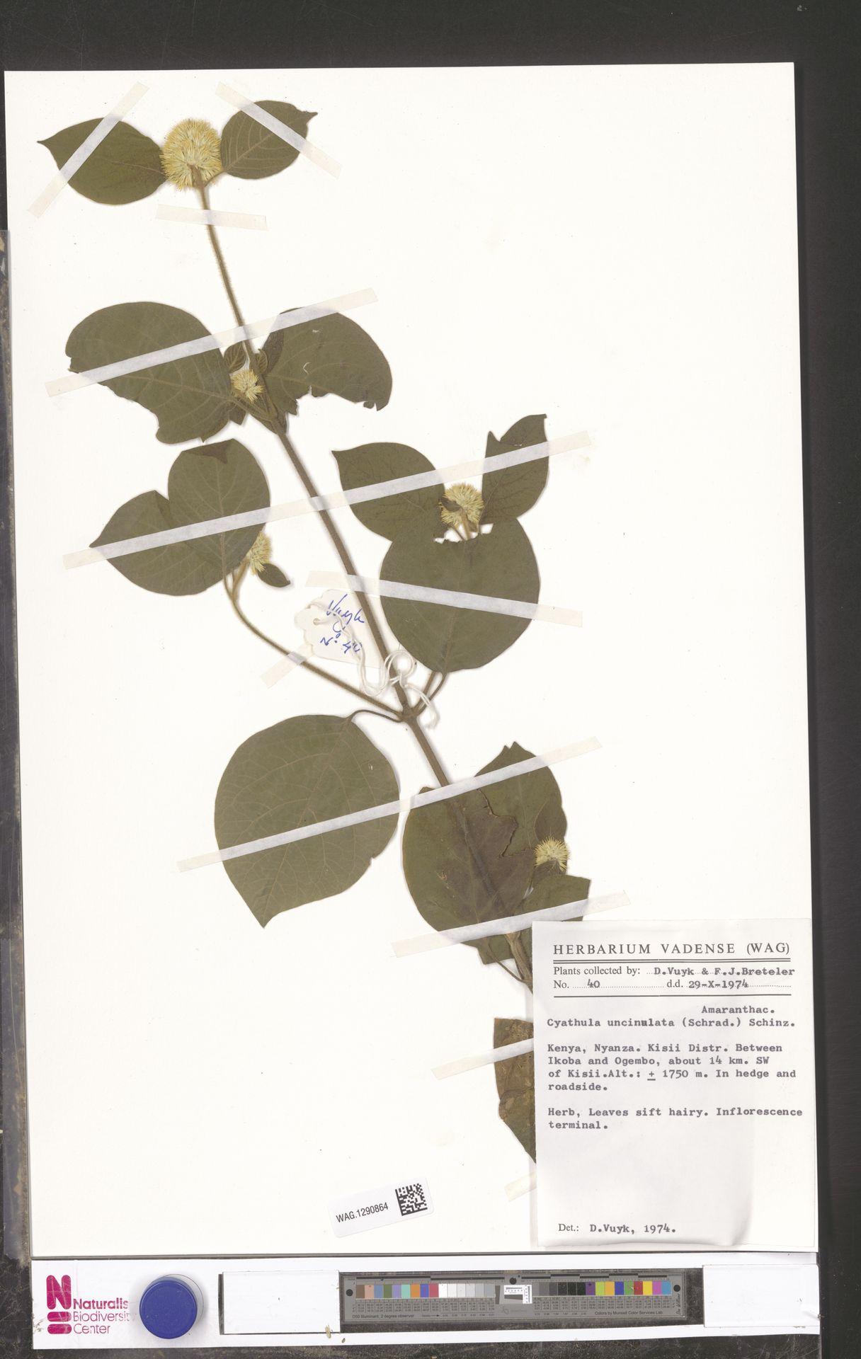 WAG.1290864 | Cyathula uncinulata (Schrad.) Schinz