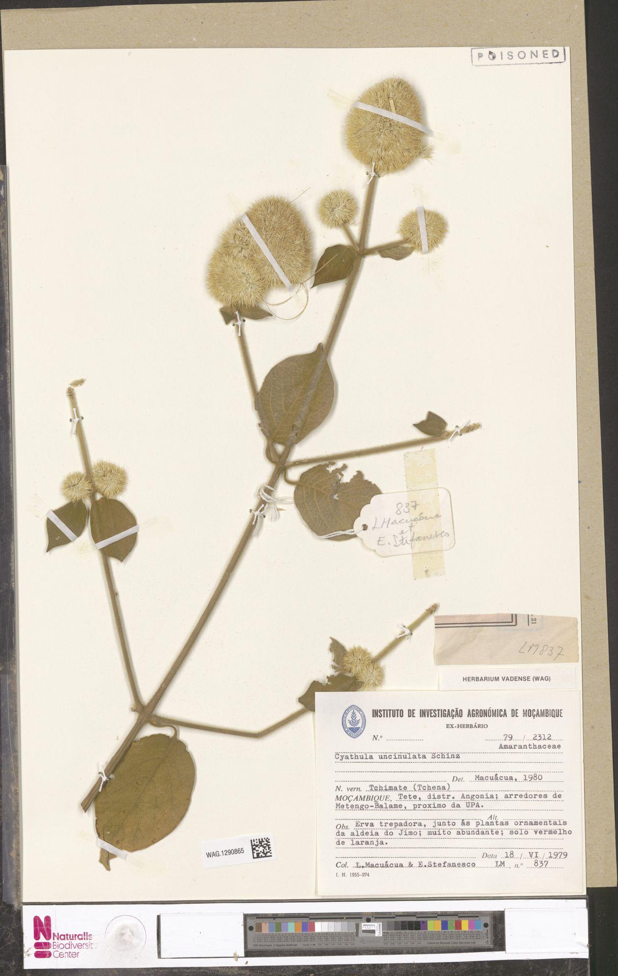 WAG.1290865 | Cyathula uncinulata (Schrad.) Schinz