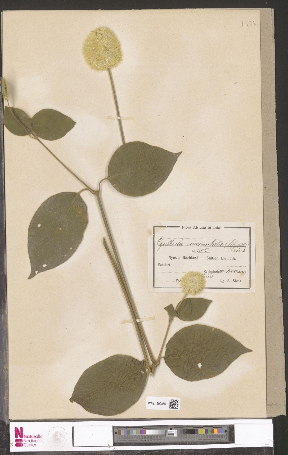 WAG.1290866   Cyathula uncinulata (Schrad.) Schinz