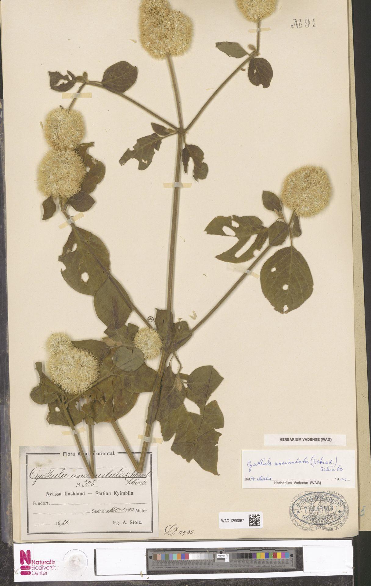 WAG.1290867 | Cyathula uncinulata (Schrad.) Schinz