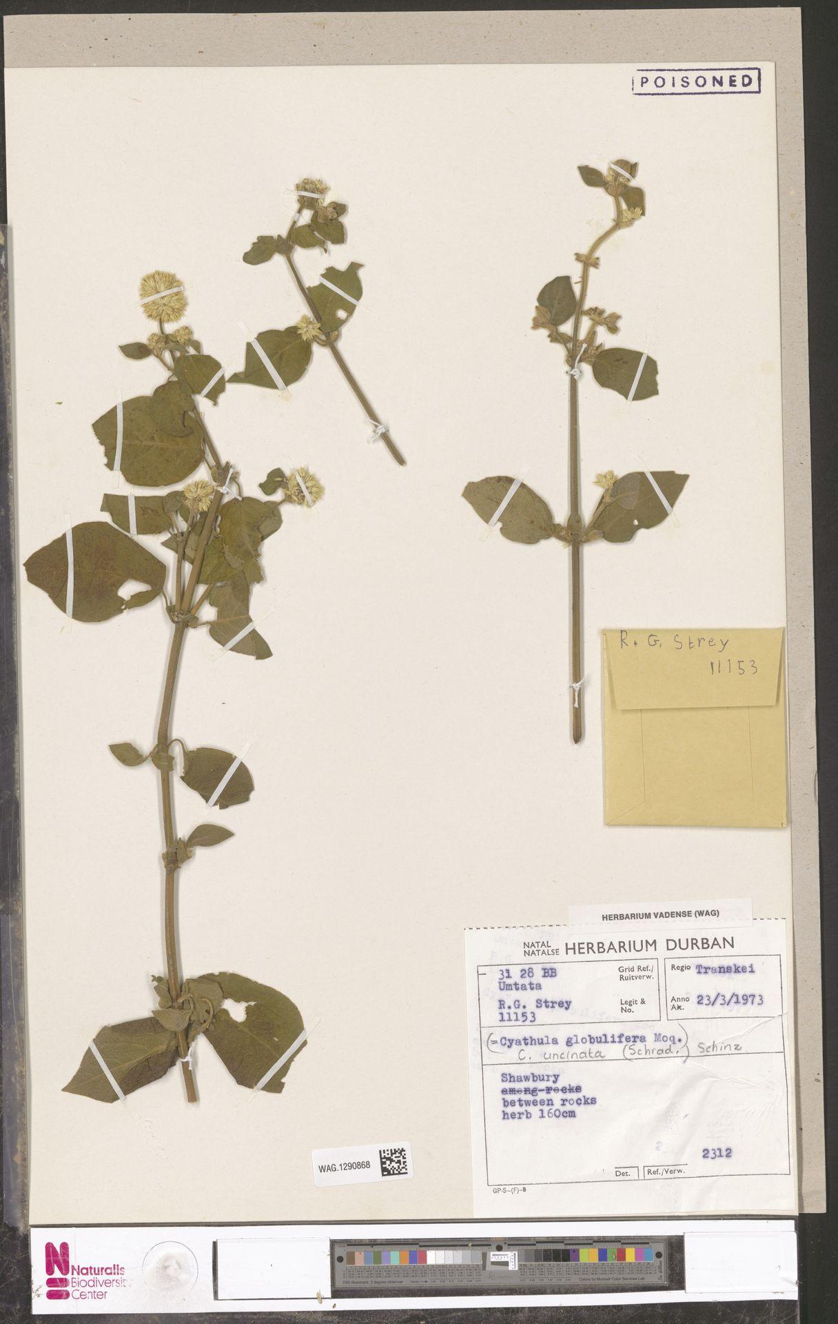WAG.1290868 | Cyathula uncinulata (Schrad.) Schinz