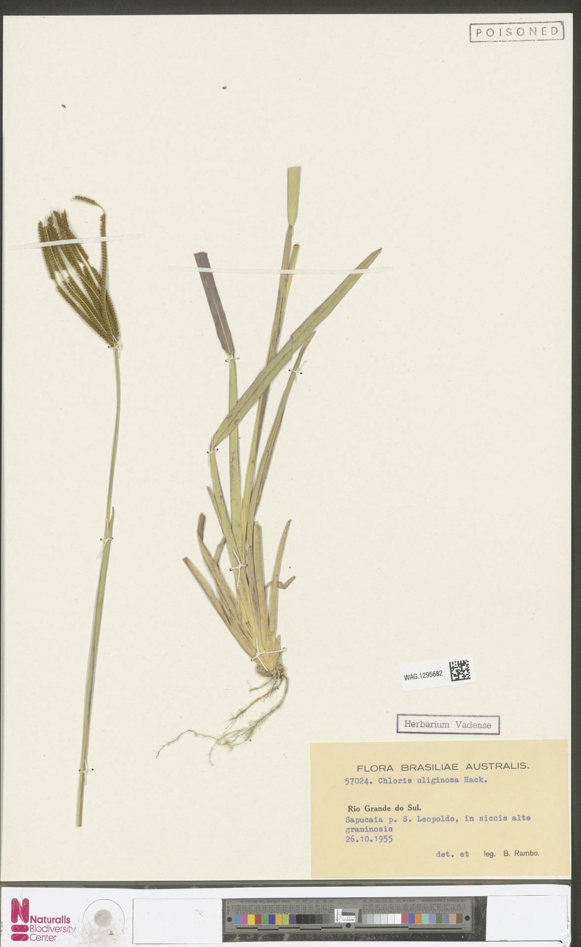WAG.1295682 | Chloris uliginosa Hack.