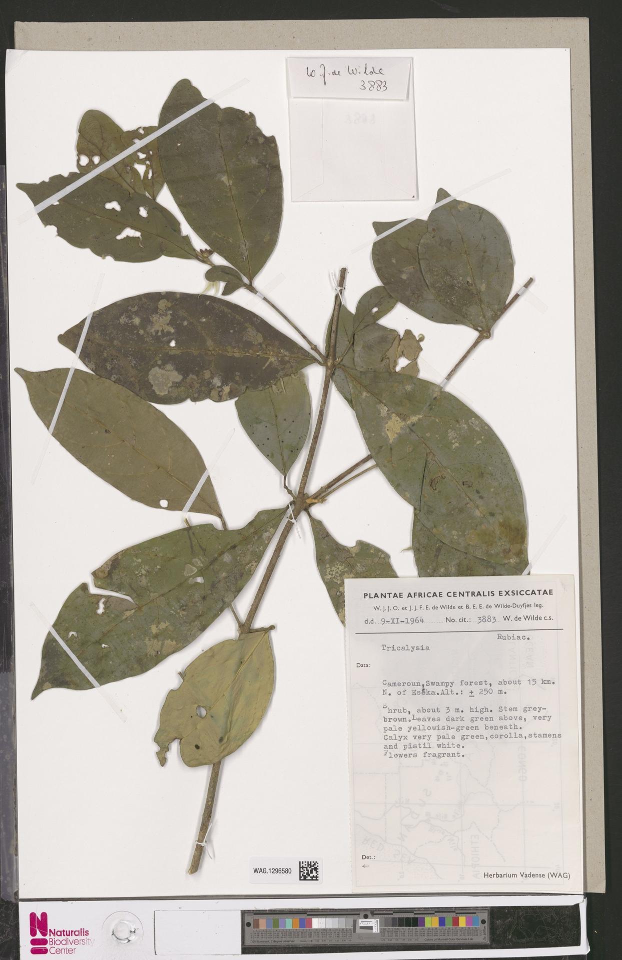 WAG.1296580 | Tricalysia A.Rich. ex DC.