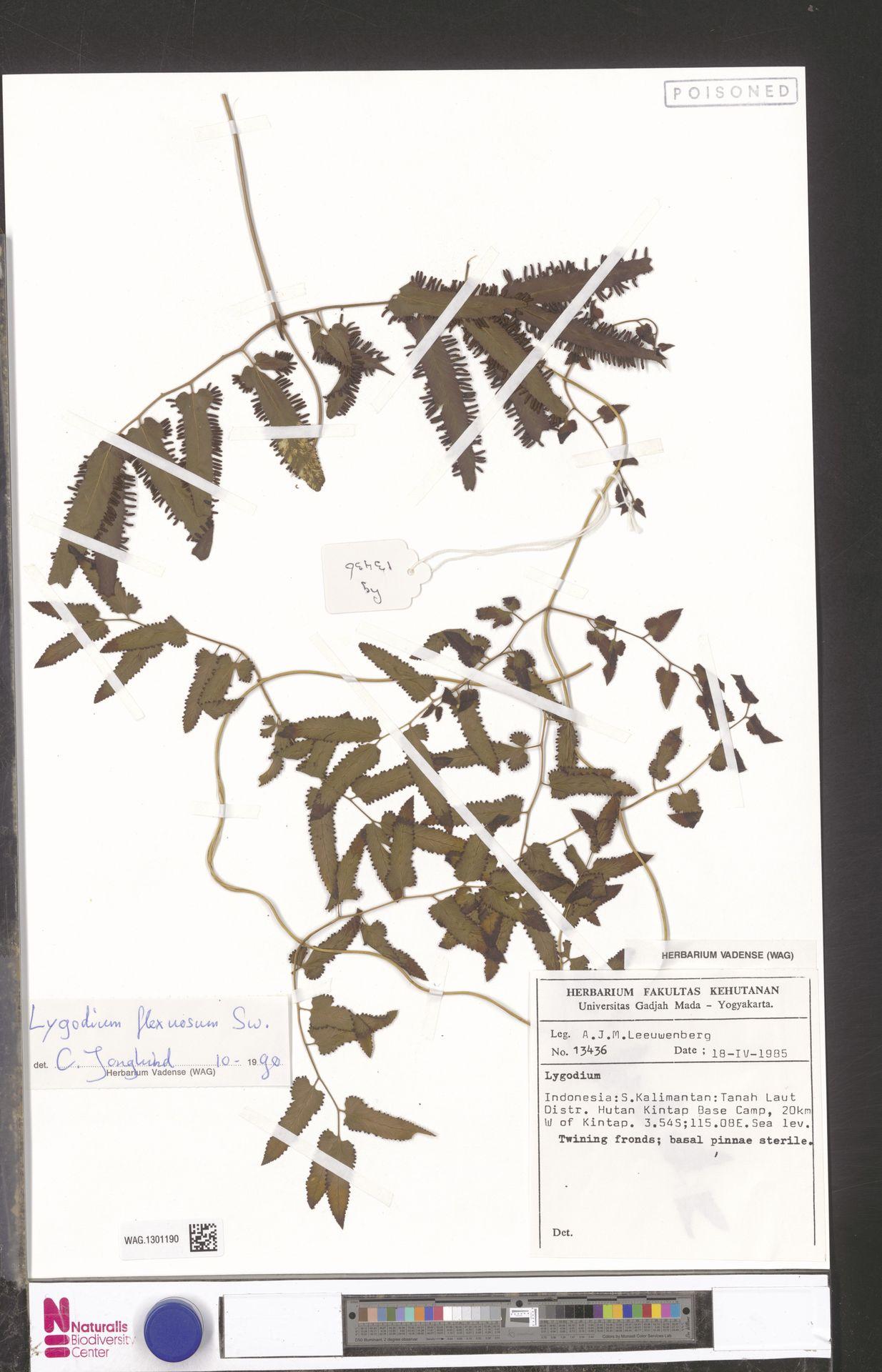 WAG.1301190   Lygodium flexuosum (L.) Sw.