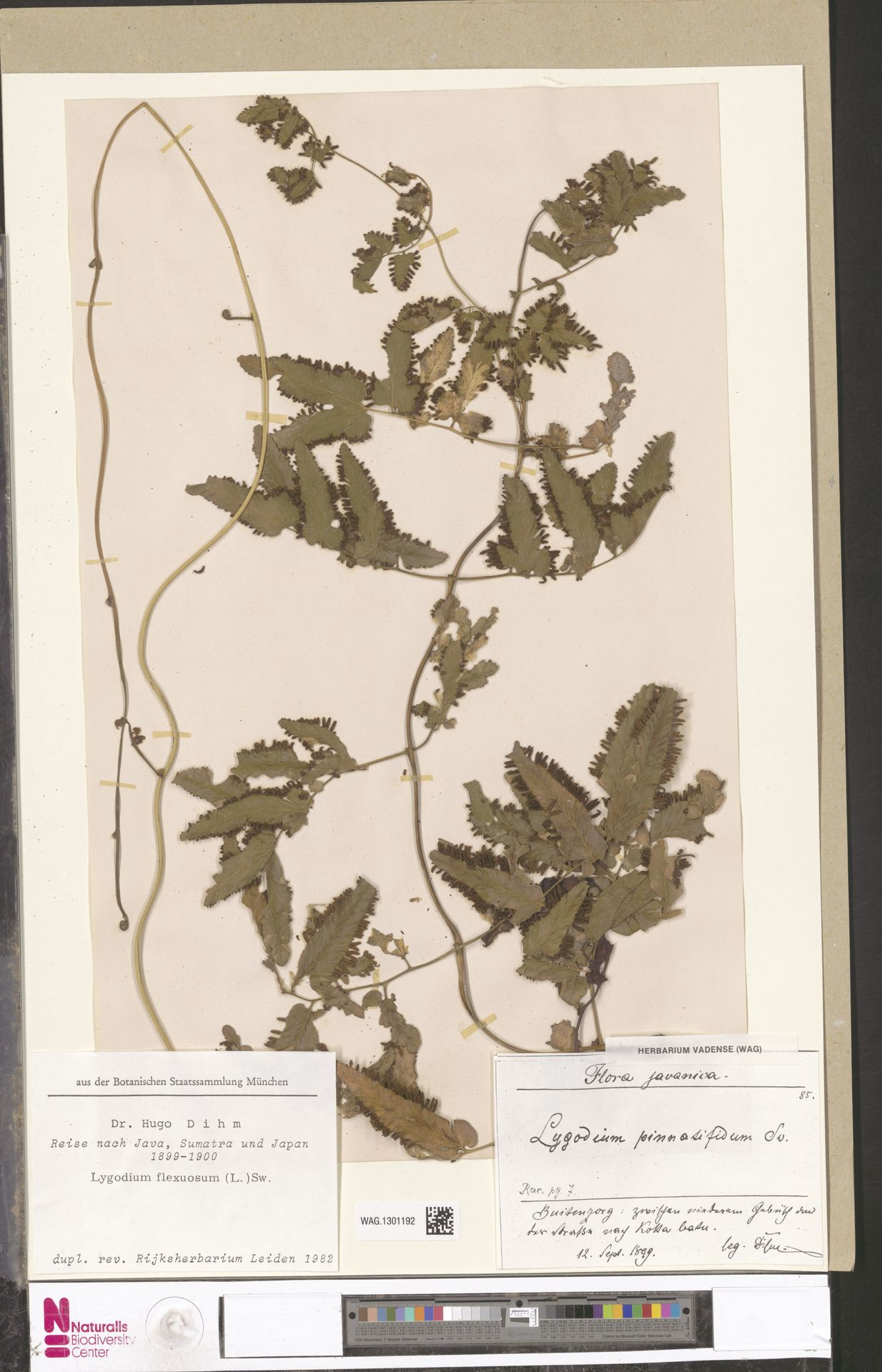 WAG.1301192 | Lygodium flexuosum (L.) Sw.
