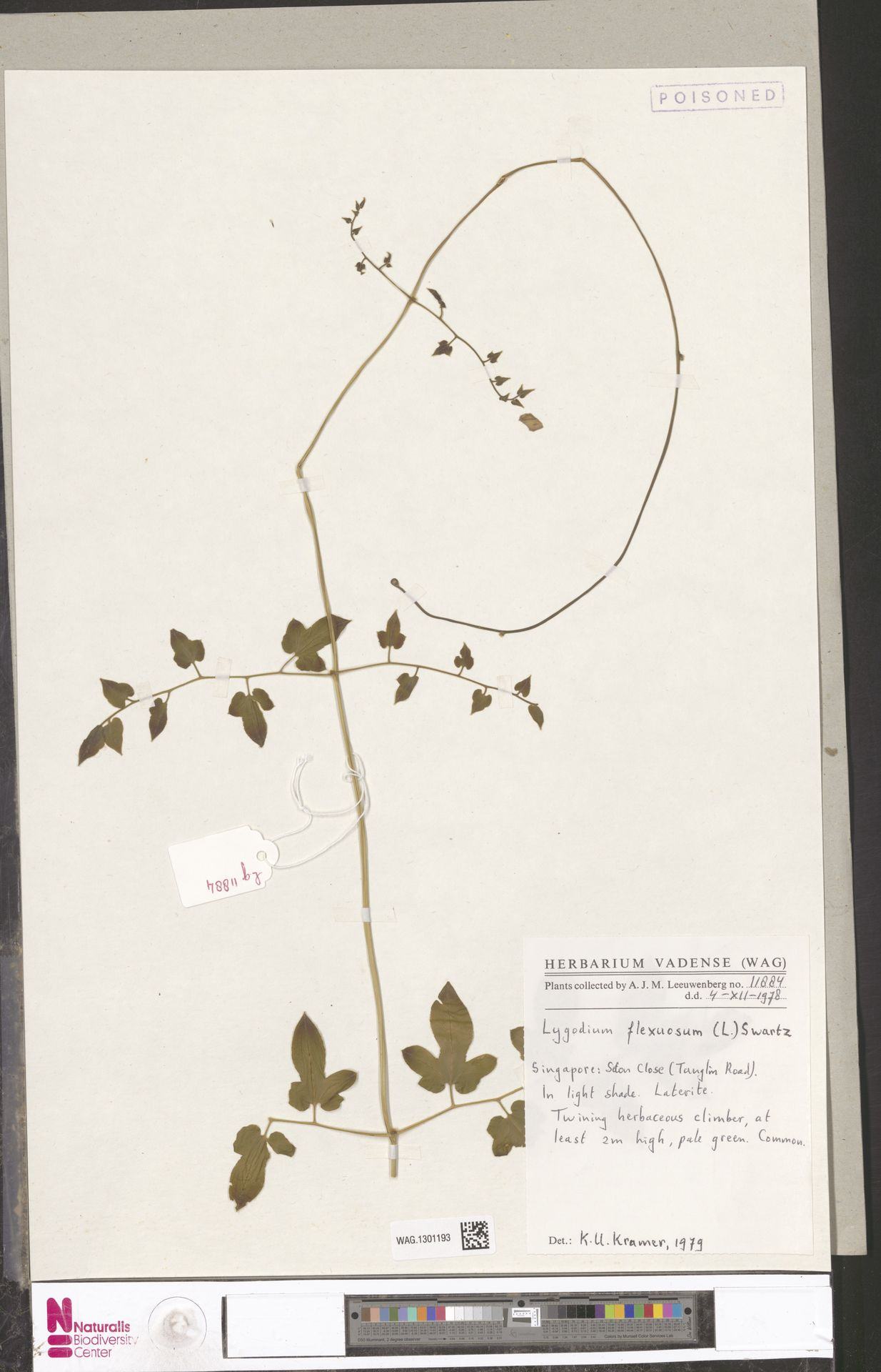 WAG.1301193   Lygodium flexuosum (L.) Sw.