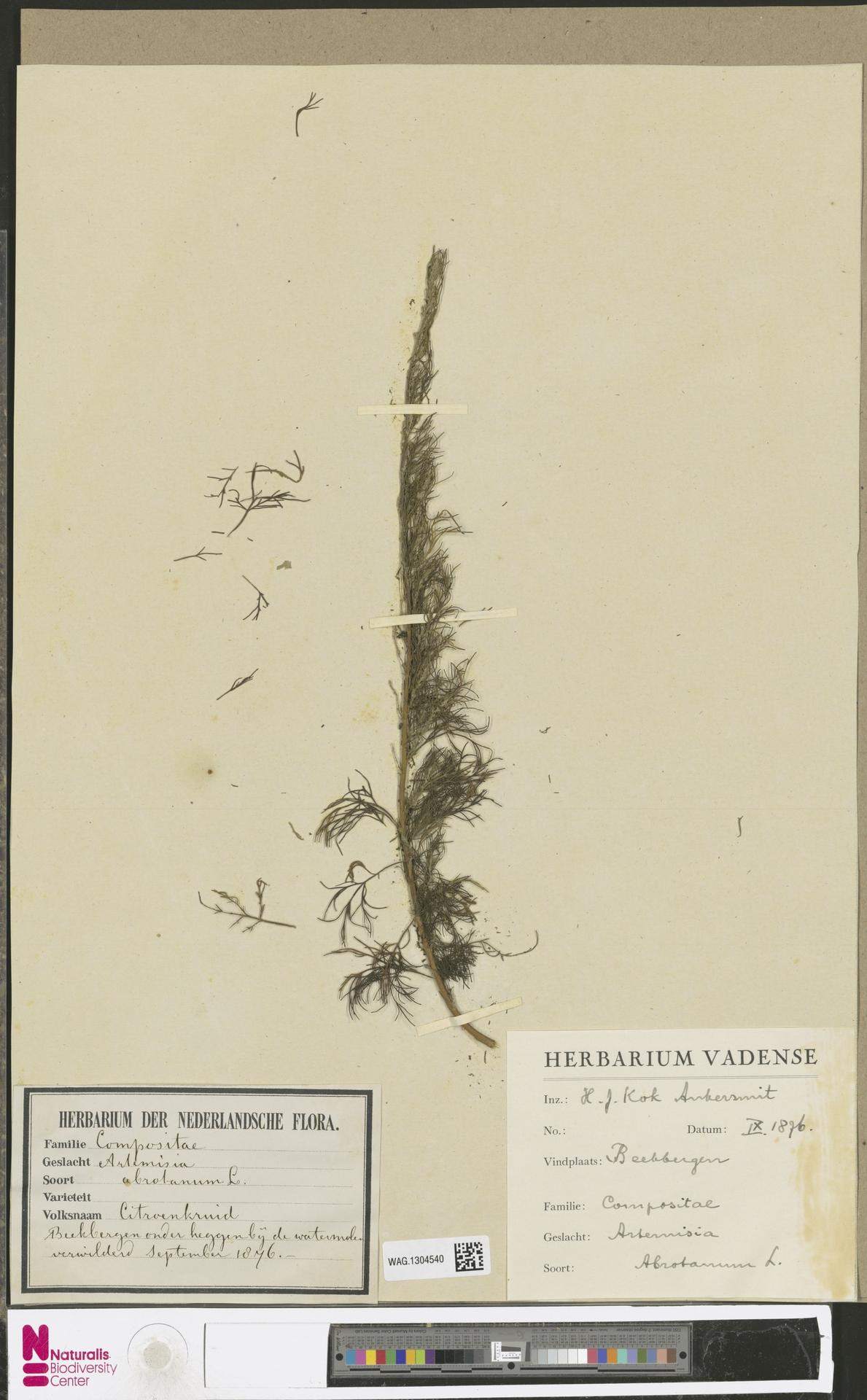 WAG.1304540   Artemisia abrotanum L.