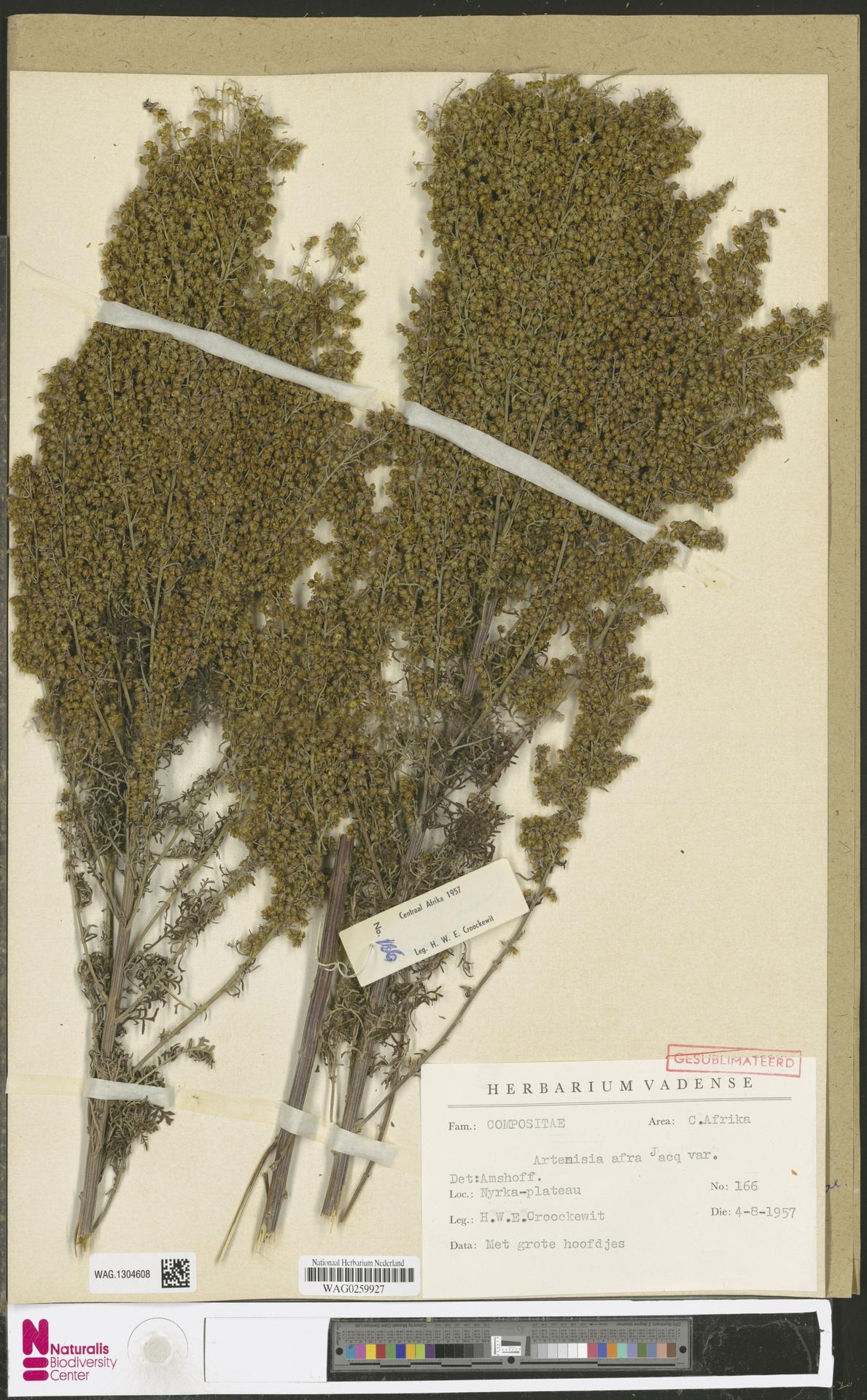 WAG.1304608 | Artemisia afra Jacq. ex Willd.