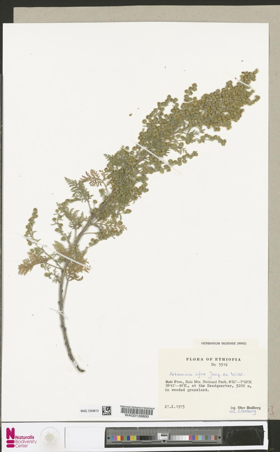 WAG.1304613 | Artemisia afra Jacq. ex Willd.
