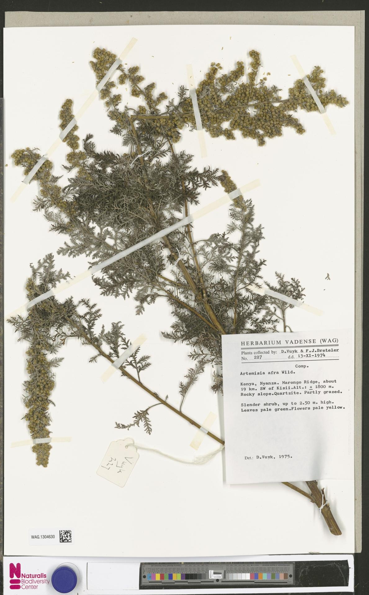WAG.1304630 | Artemisia afra Jacq. ex Willd.