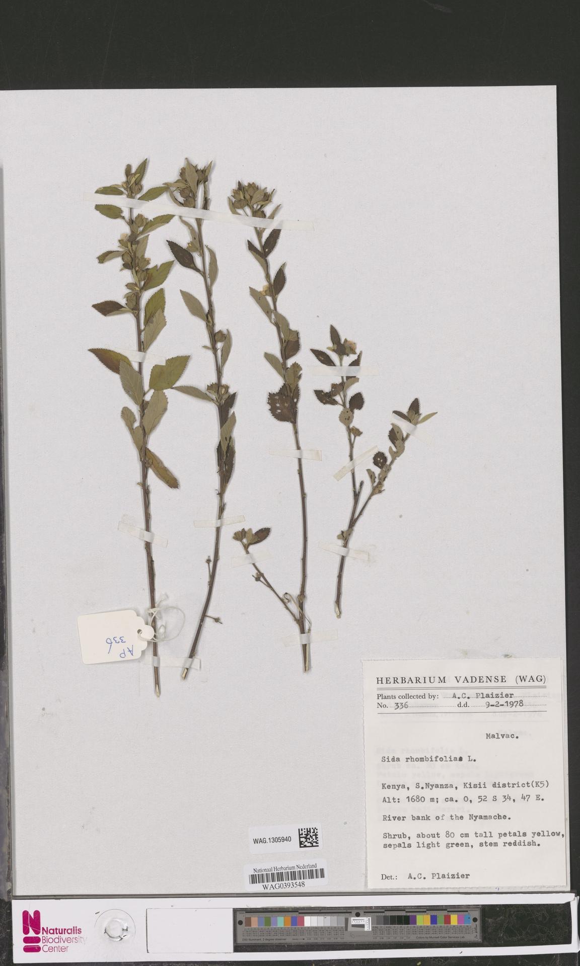 WAG.1305940 | Sida rhombifolia L.