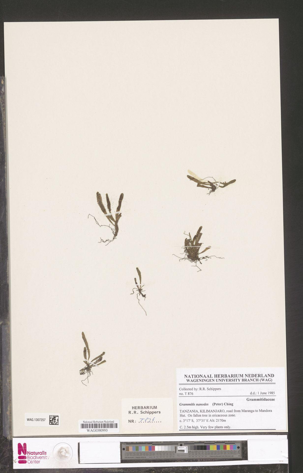 WAG.1307257 | Grammitis nanodes (Peter) Ching