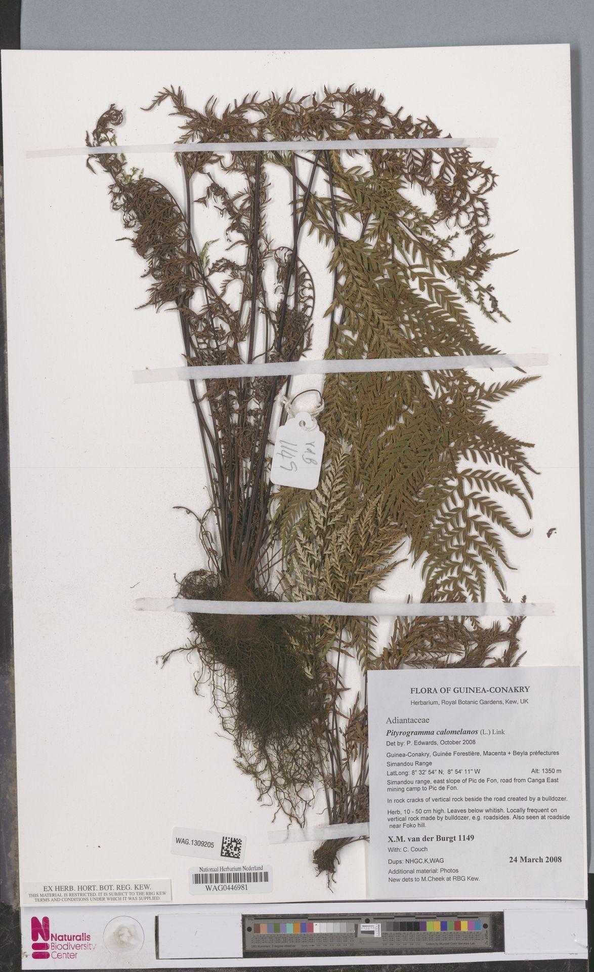 WAG.1309205 | Pityrogramma calomelanos (L.) Link