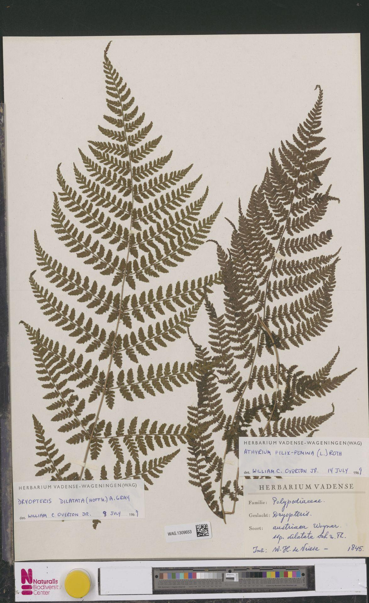 WAG.1309653   Dryopteris dilatata (Hoffm.) A.Gray