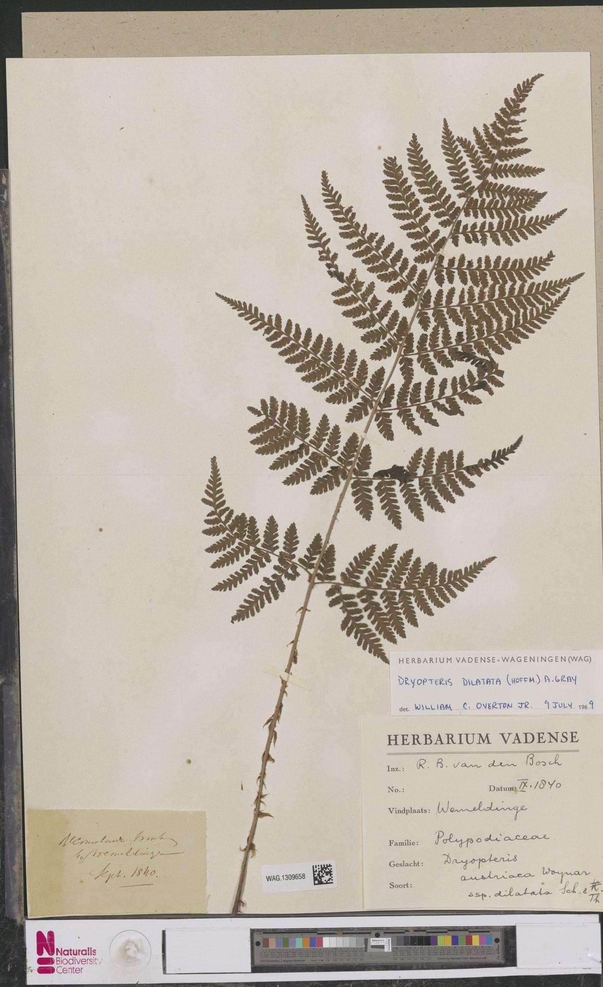 WAG.1309658 | Dryopteris dilatata (Hoffm.) A.Gray