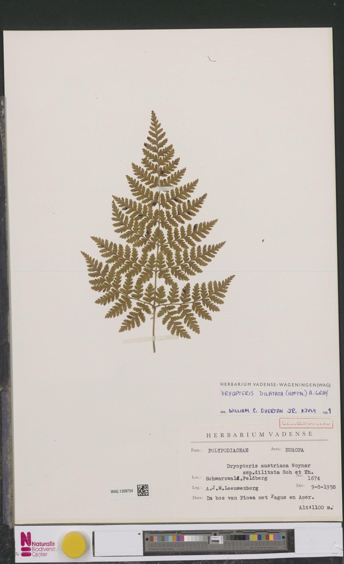 WAG.1309754 | Dryopteris dilatata (Hoffm.) A.Gray
