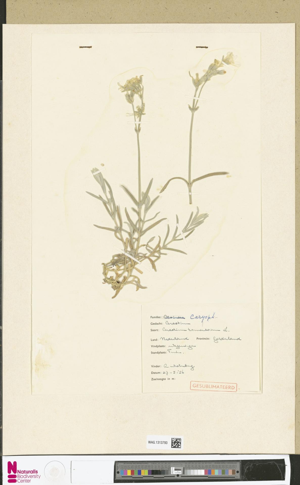 WAG.1313793 | Cerastium tomentosum L.