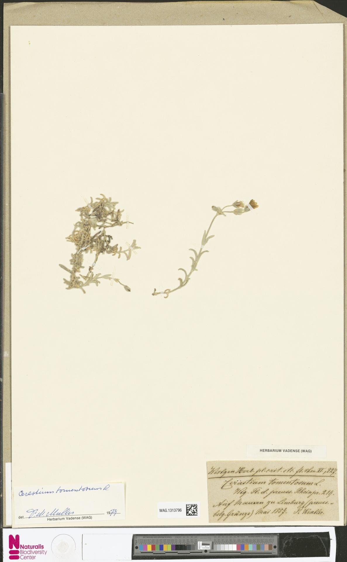 WAG.1313796 | Cerastium tomentosum L.