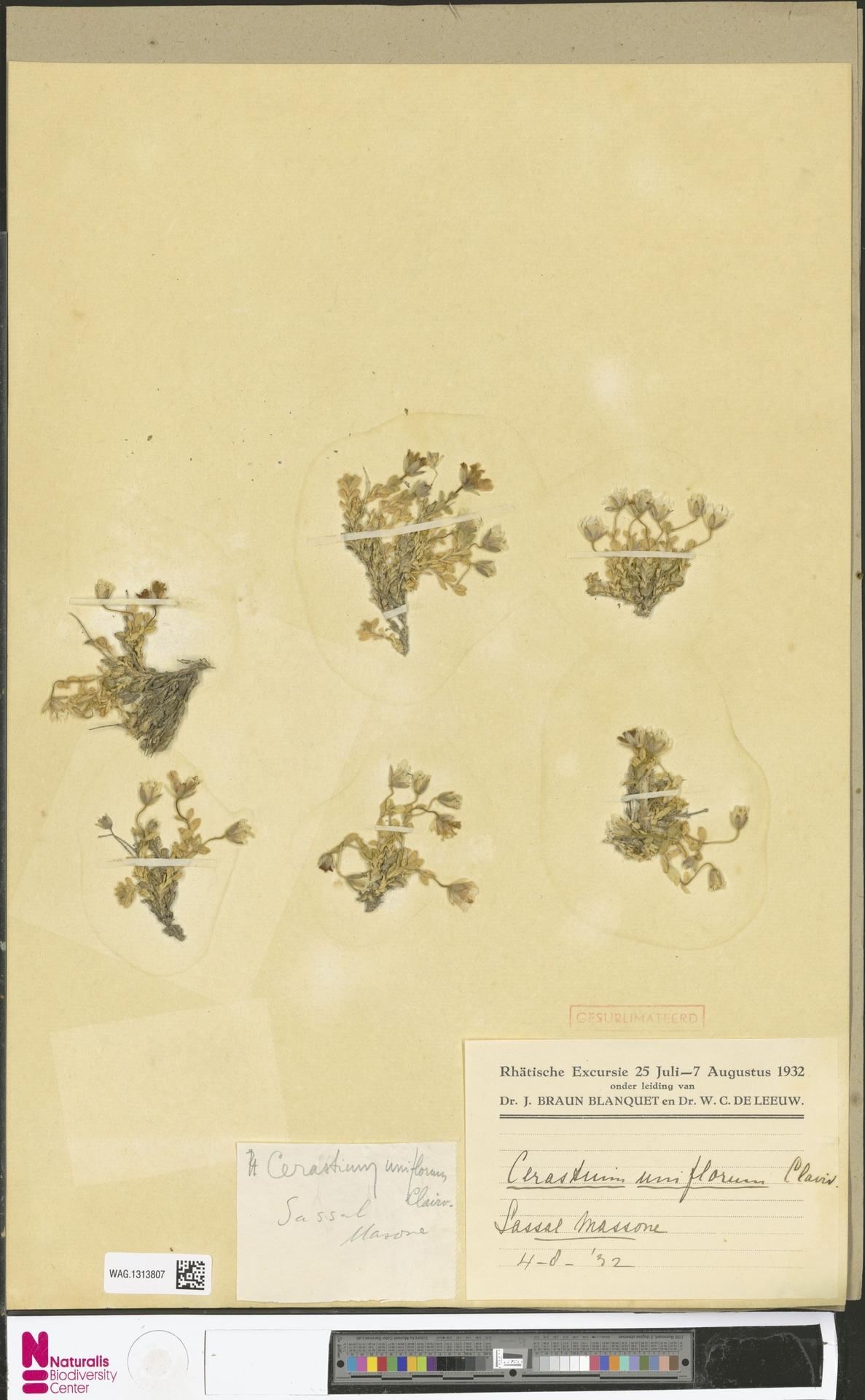 WAG.1313807 | Cerastium uniflorum Clairv.