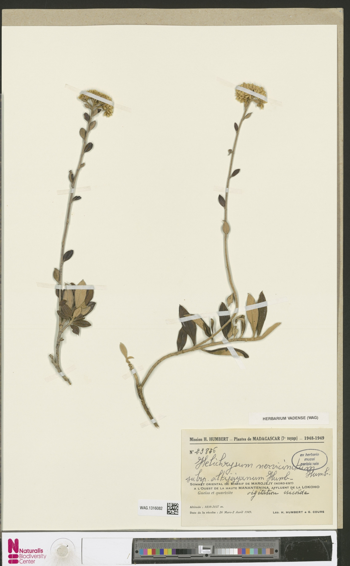 WAG.1316082 | Helichrysum nervicinctum subsp. altijejyanum Humbert