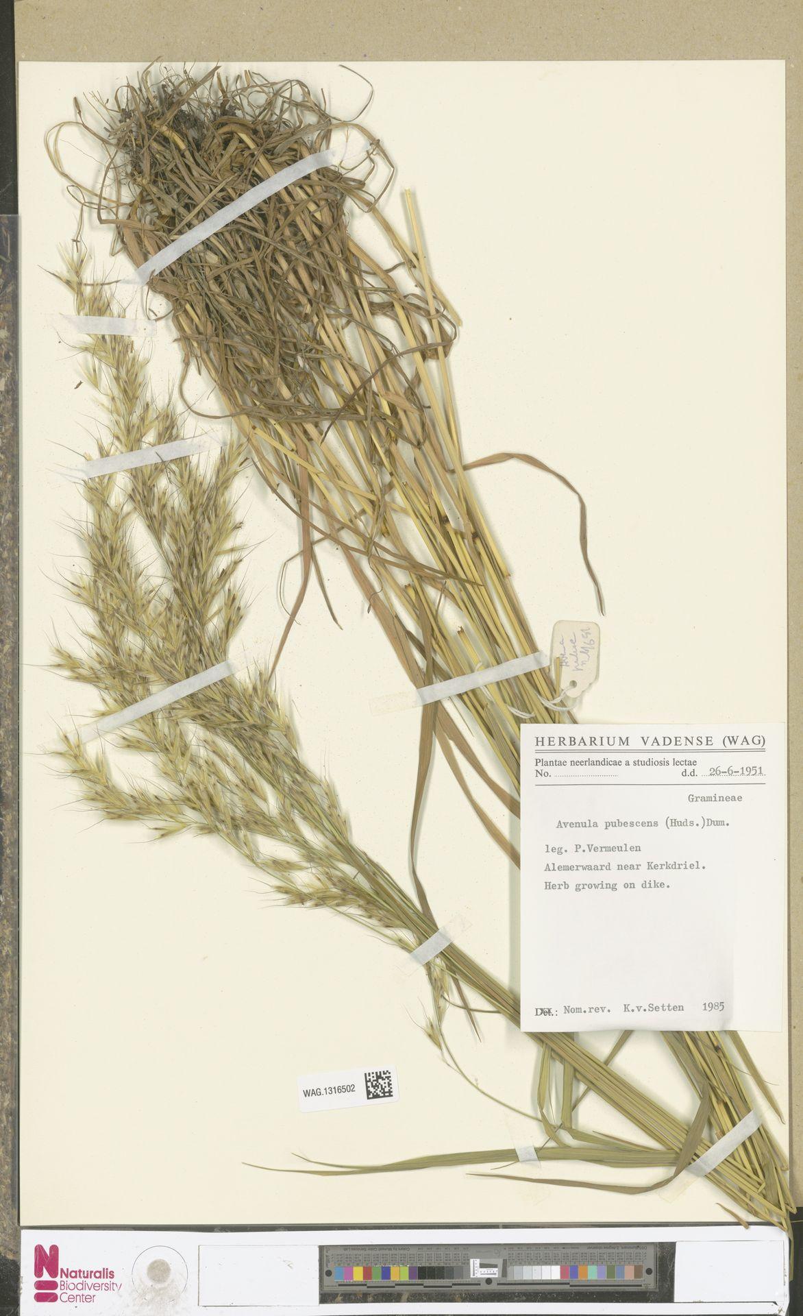 WAG.1316502 | Avenula pubescens (Huds.) Dumort.