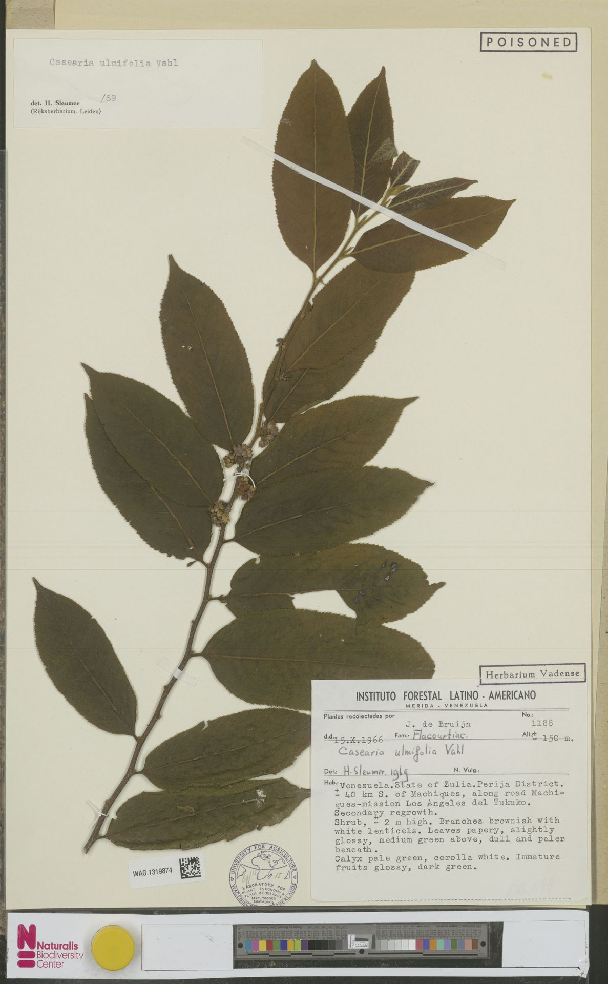 WAG.1319874 | Casearia ulmifolia Vahl ex Vent.