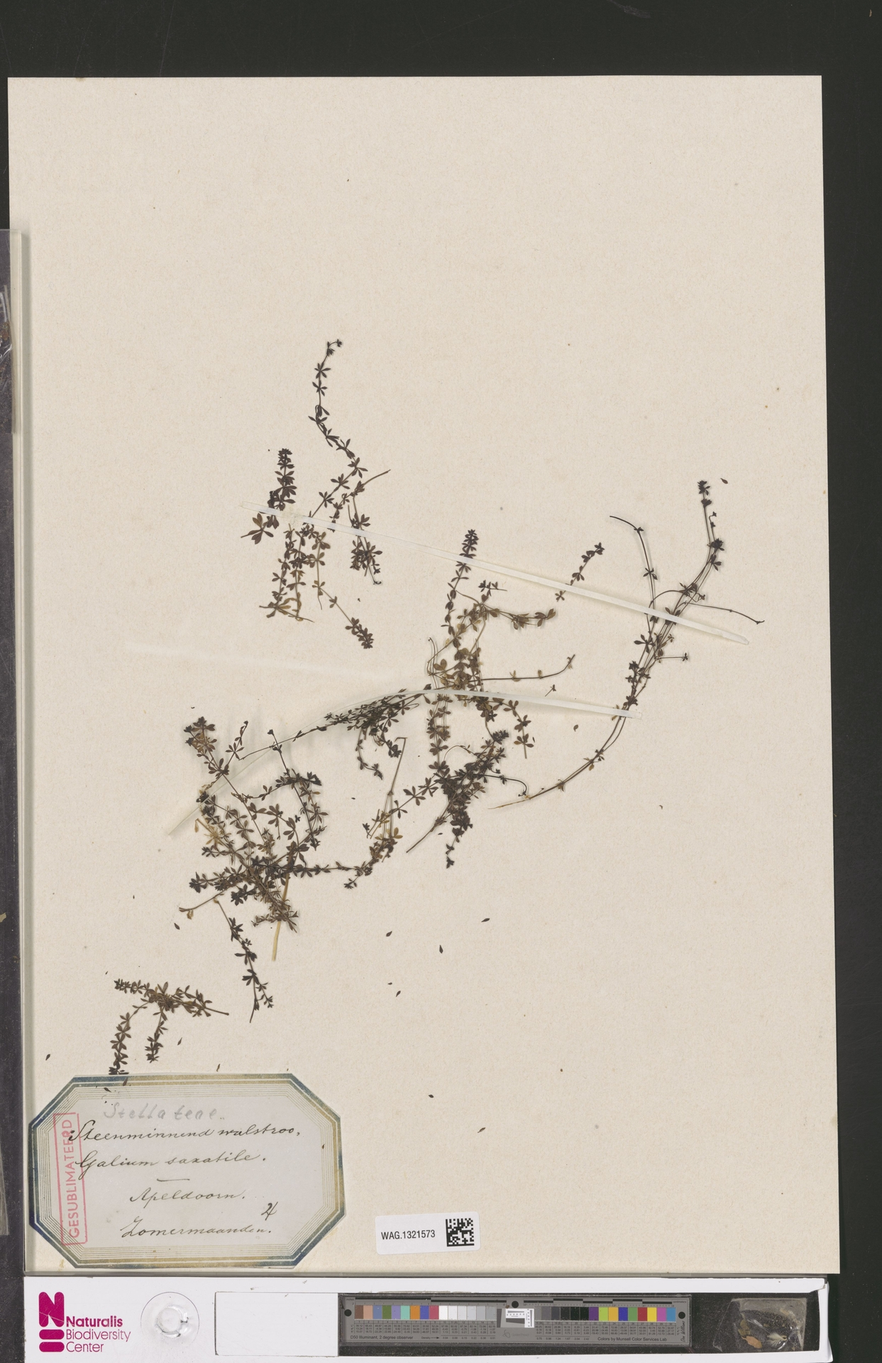 WAG.1321573 | Galium saxatile L.