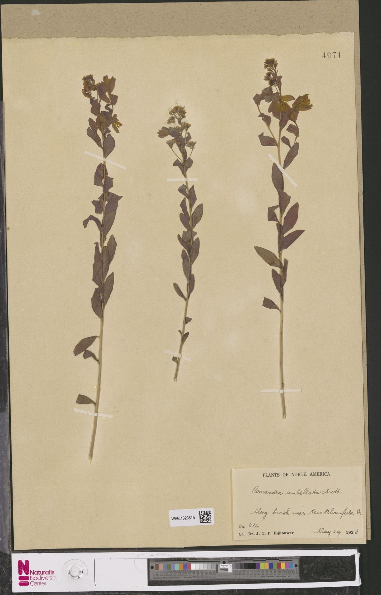 WAG.1323815 | Comandra umbellata (L.) Nutt.