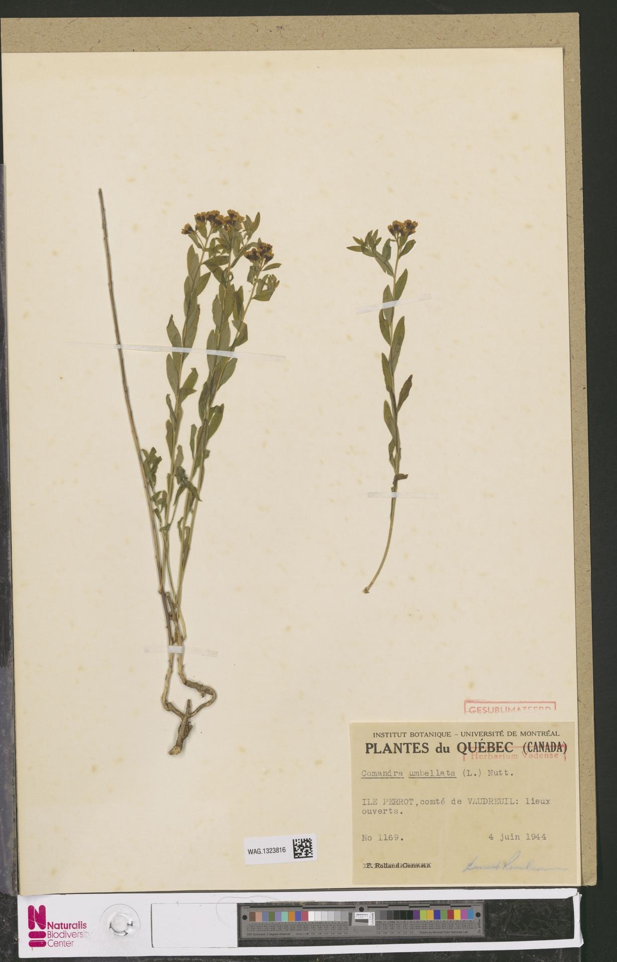 WAG.1323816 | Comandra umbellata (L.) Nutt.