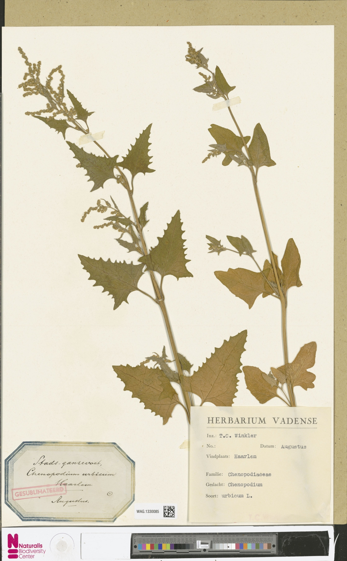 WAG.1330085 | Chenopodium urbicum L.