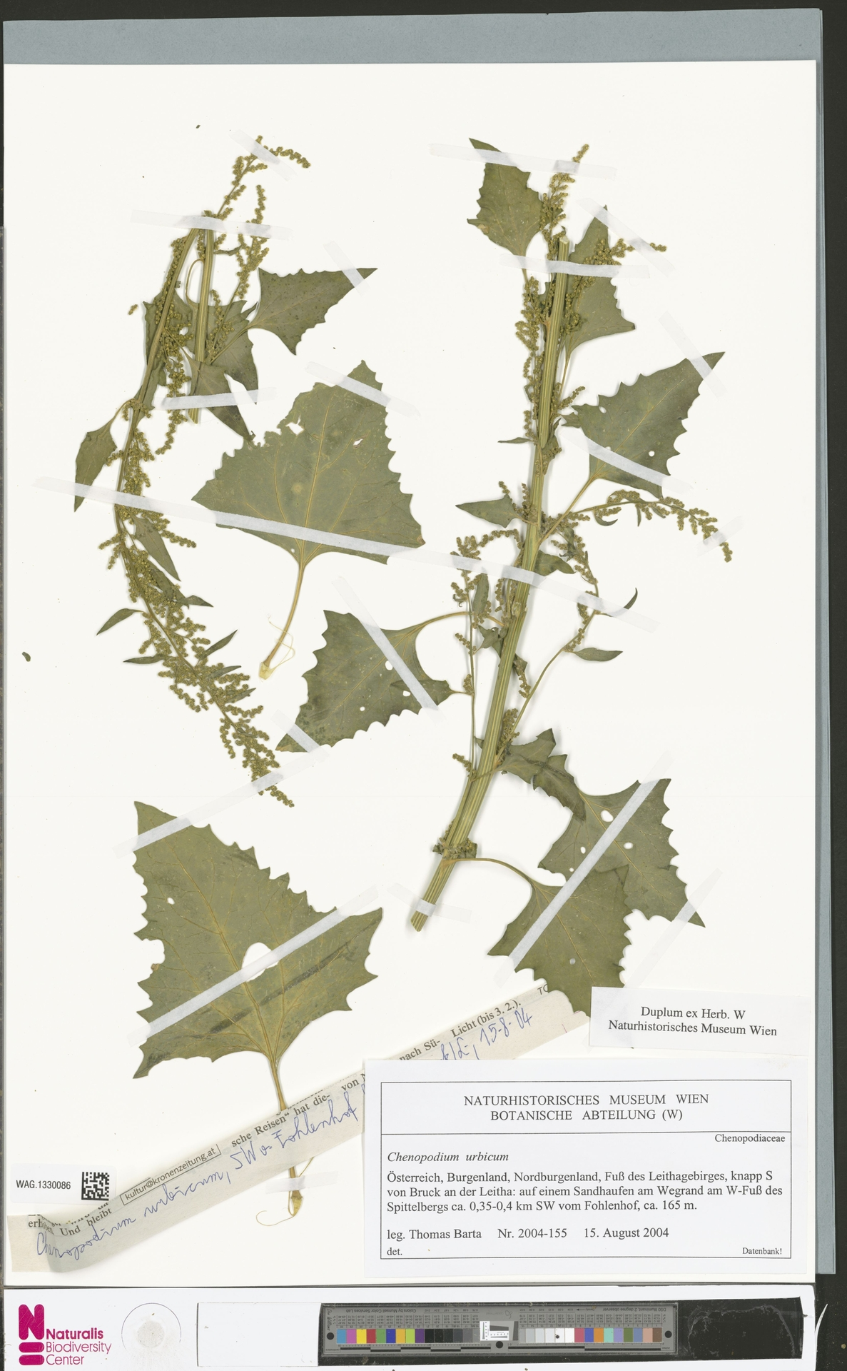 WAG.1330086 | Chenopodium urbicum L.
