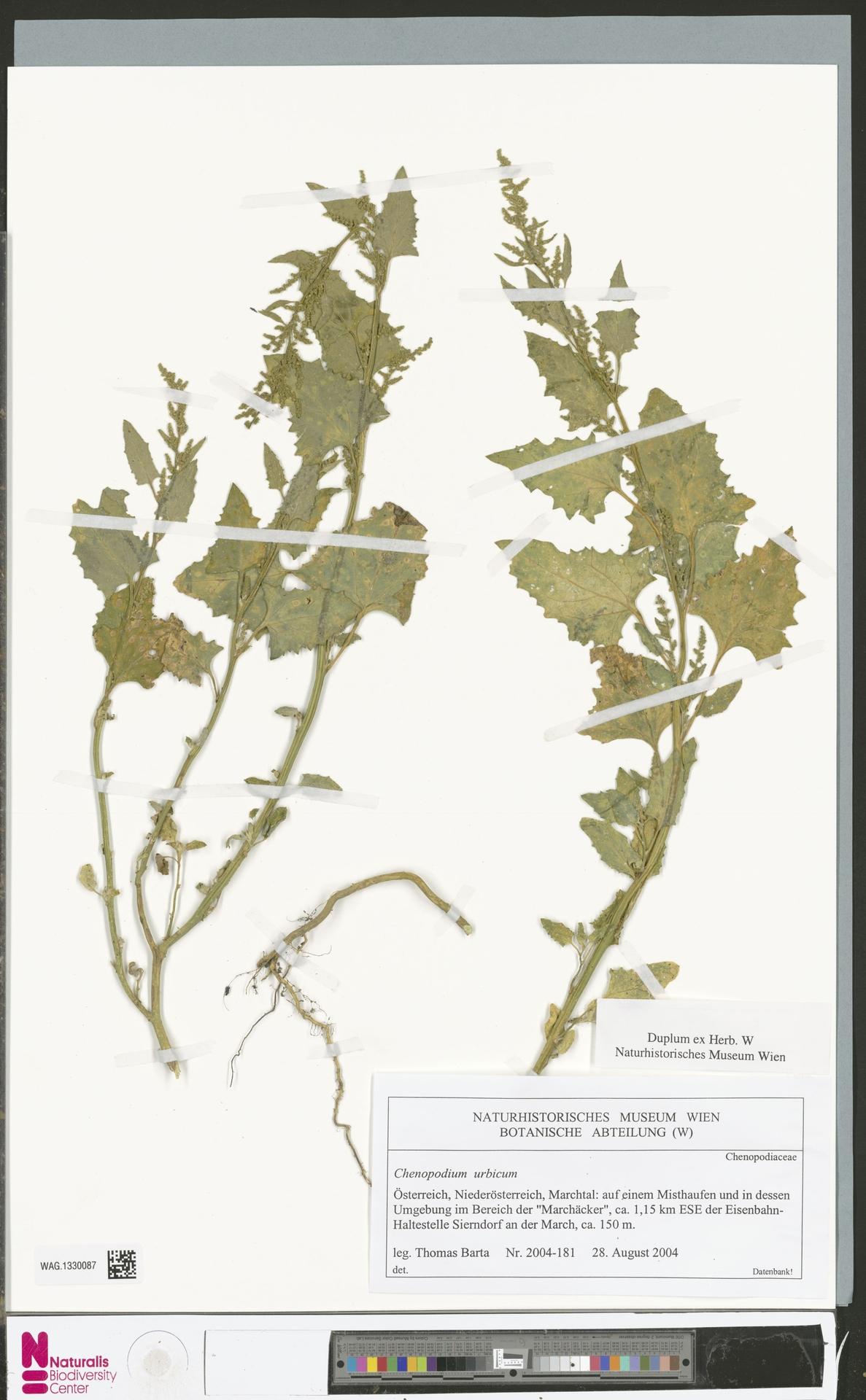 WAG.1330087 | Chenopodium urbicum L.