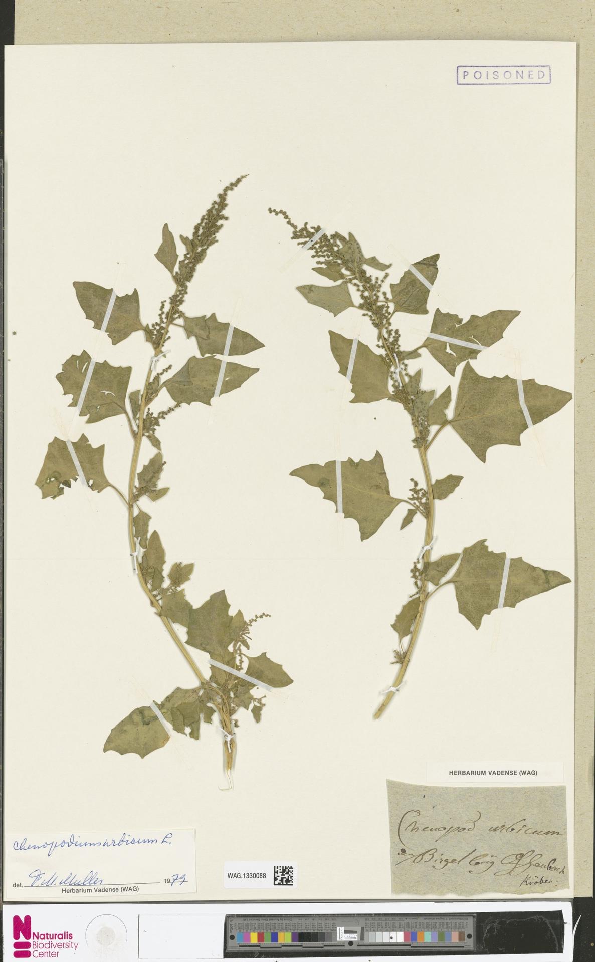 WAG.1330088 | Chenopodium urbicum L.