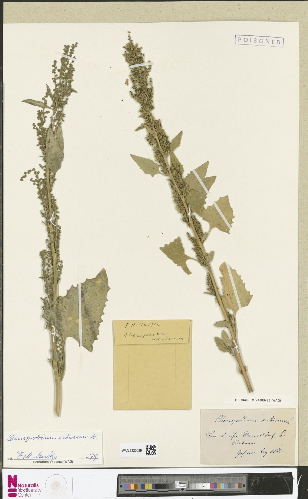 WAG.1330089 | Chenopodium urbicum L.
