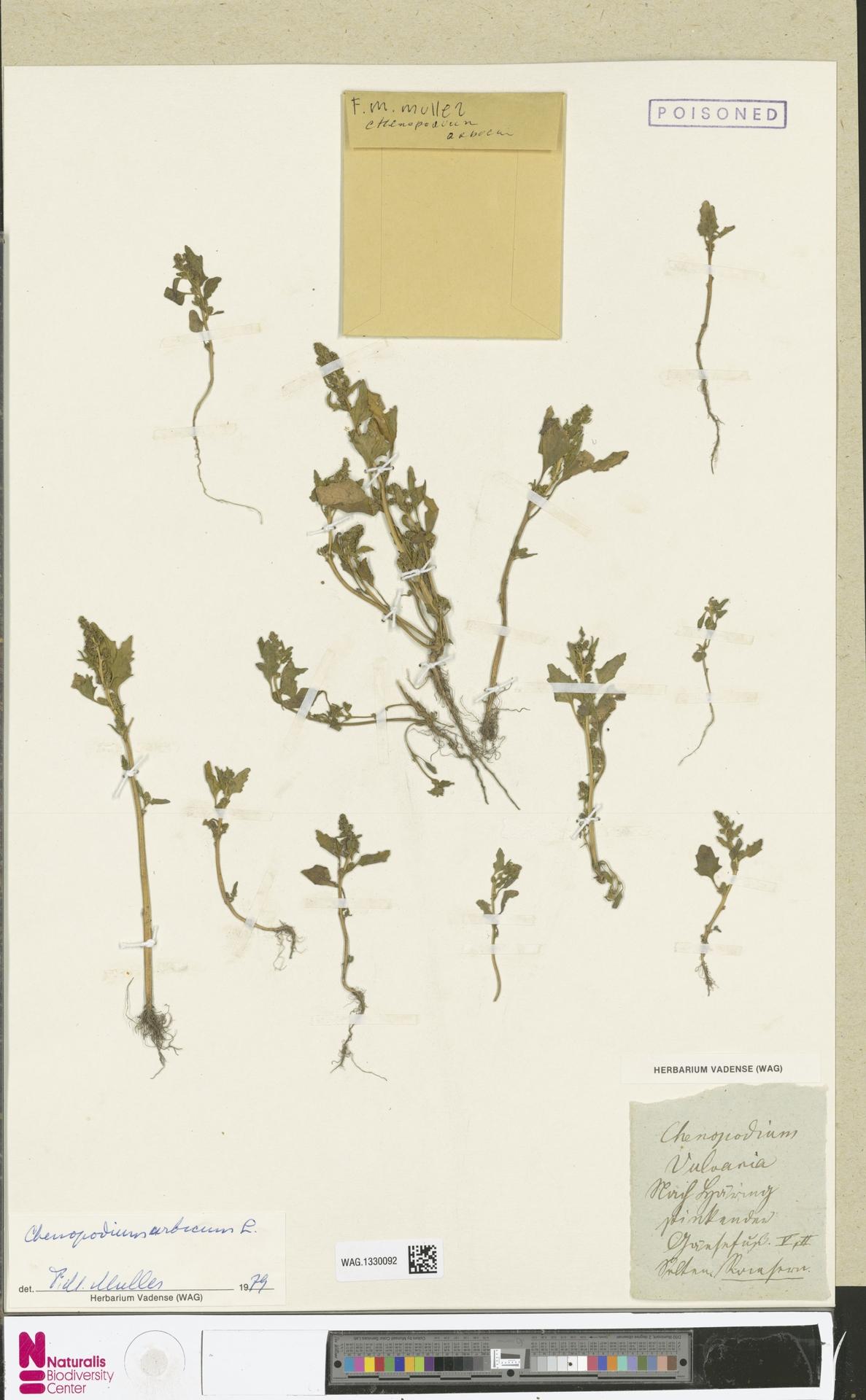 WAG.1330092 | Chenopodium urbicum L.