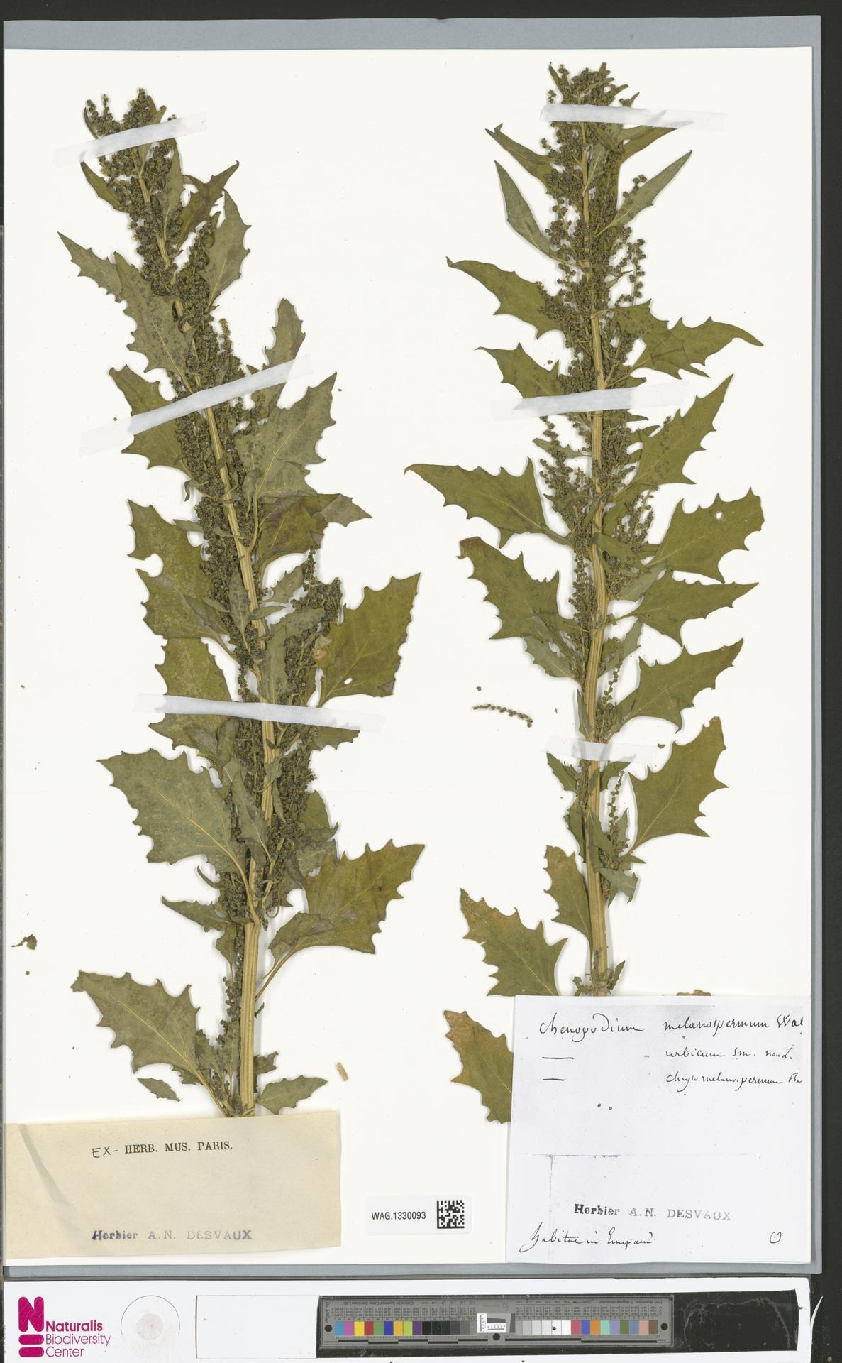 WAG.1330093 | Chenopodium urbicum L.