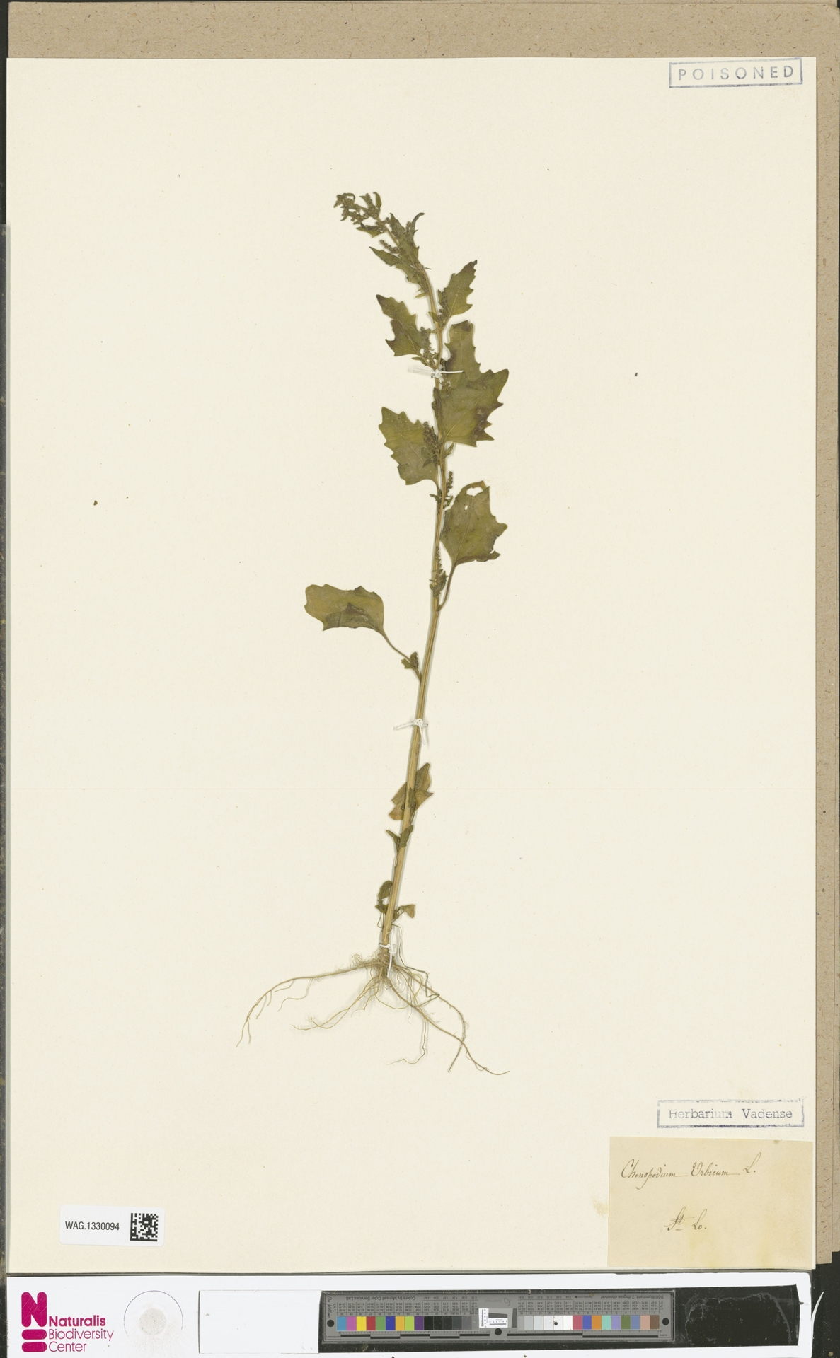 WAG.1330094 | Chenopodium urbicum L.